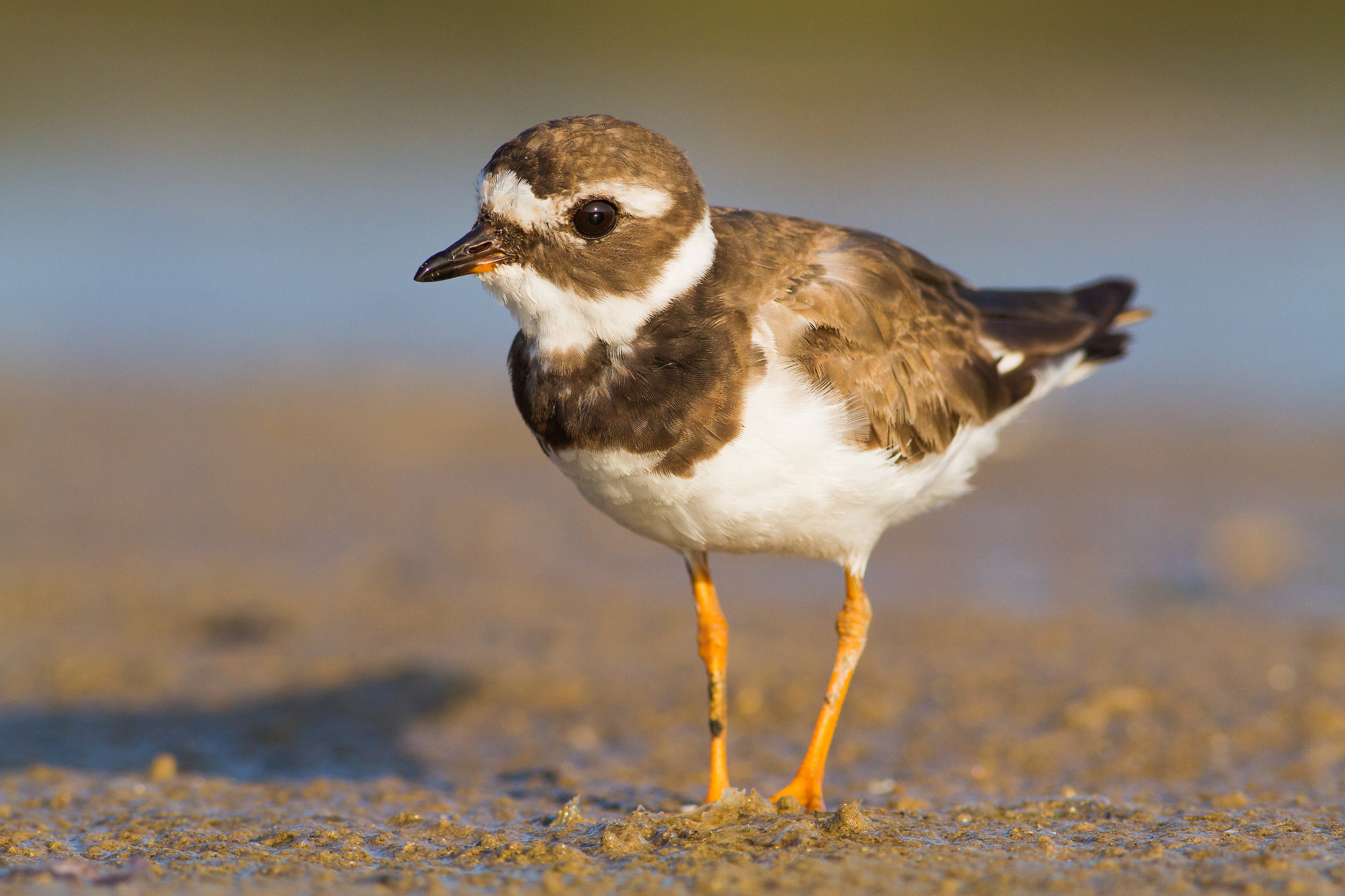 we have a very close conversation   ( ringed plover )...