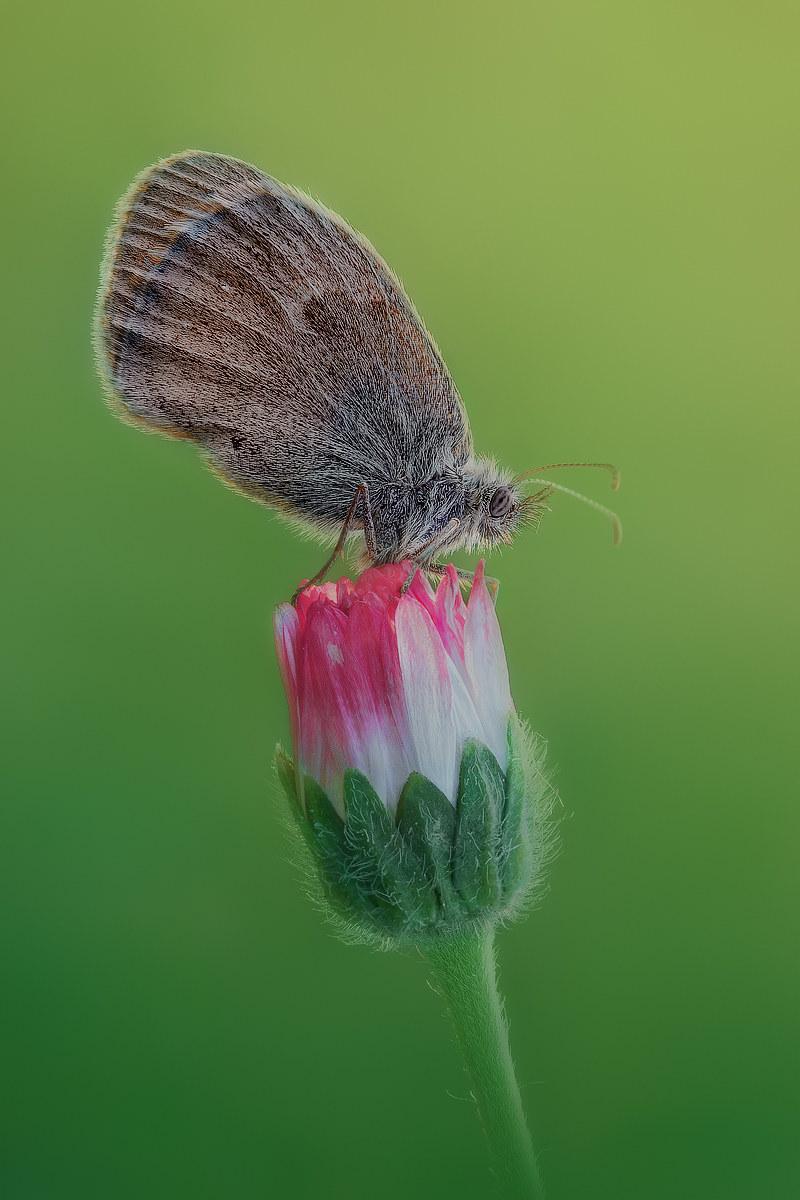 Coenonympha pamphilius...