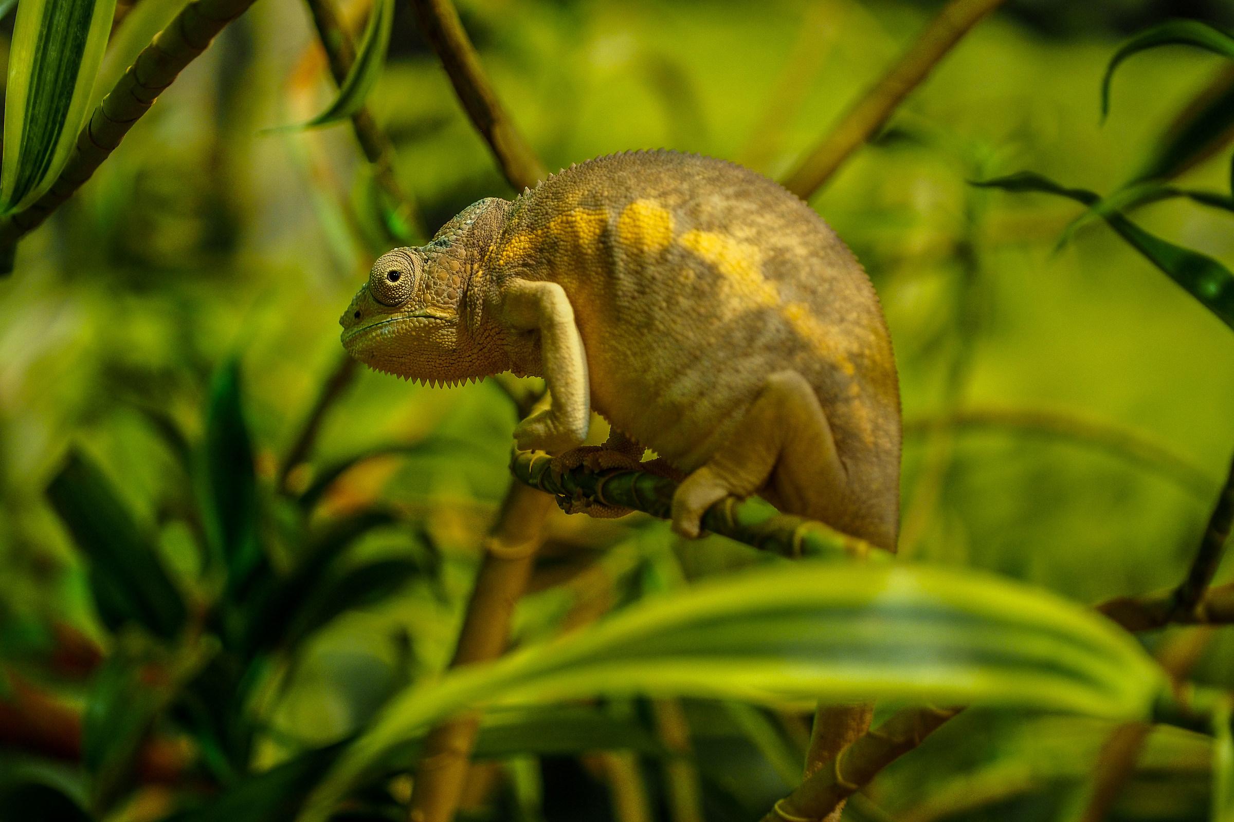 chameleon...