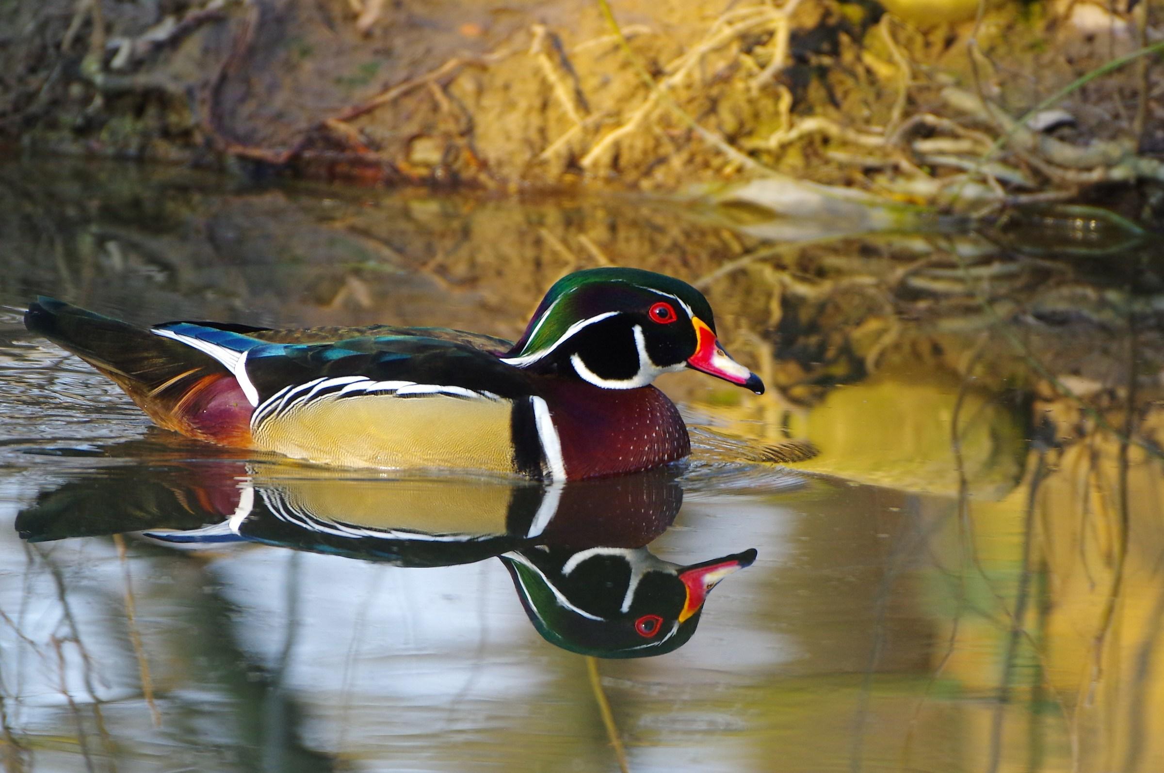 Bride duck (Aix sponsa)...