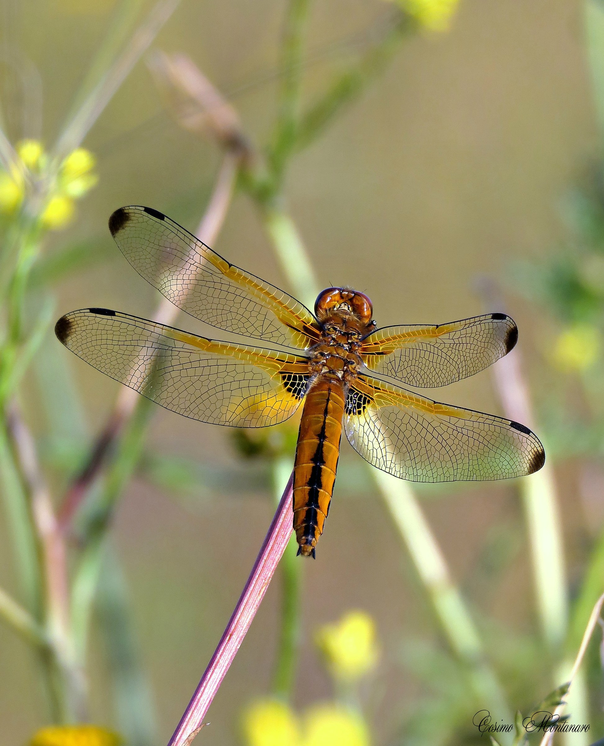 Quadrimaculate dragonfly...