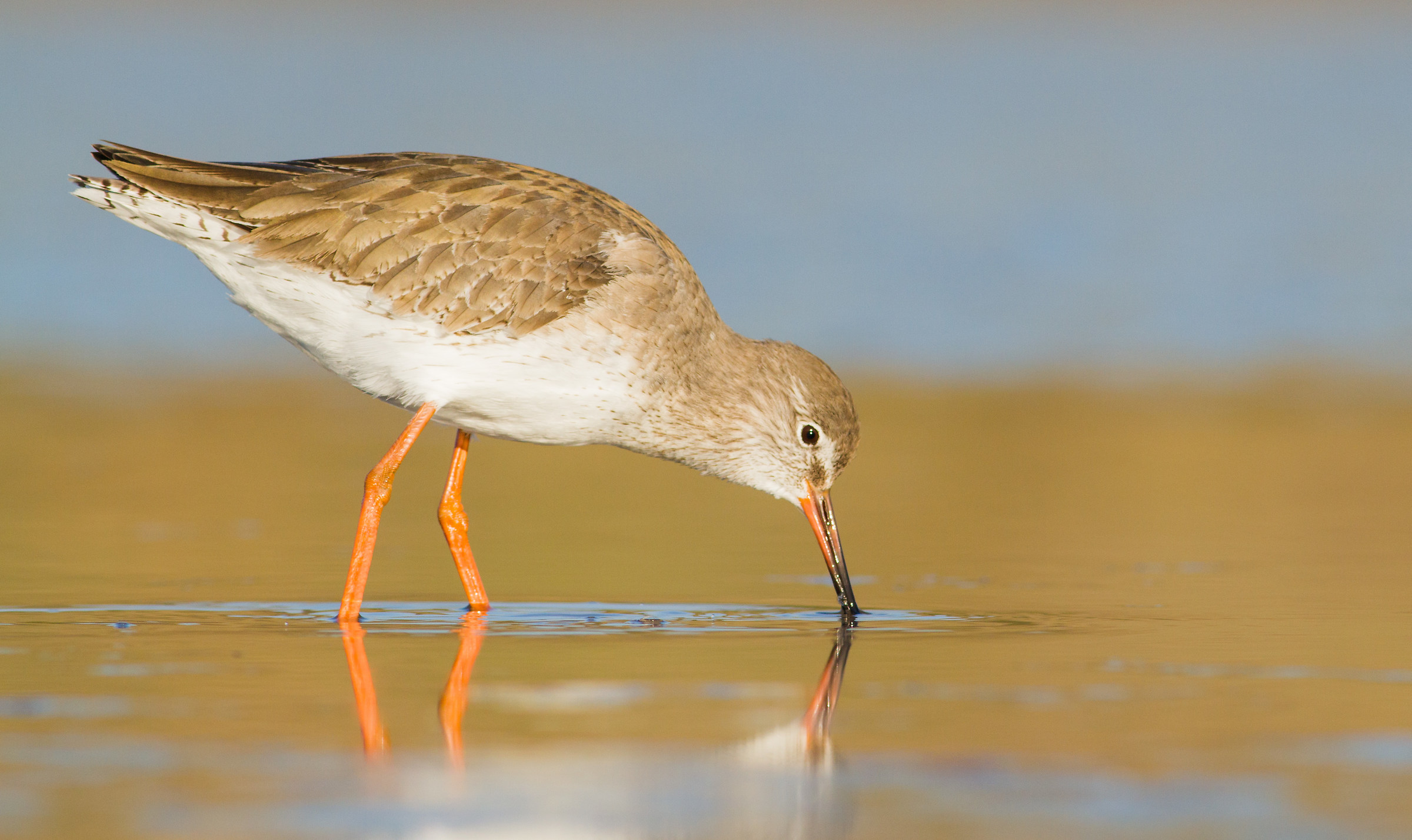 looking for this delicious moluscos ( redshank )...