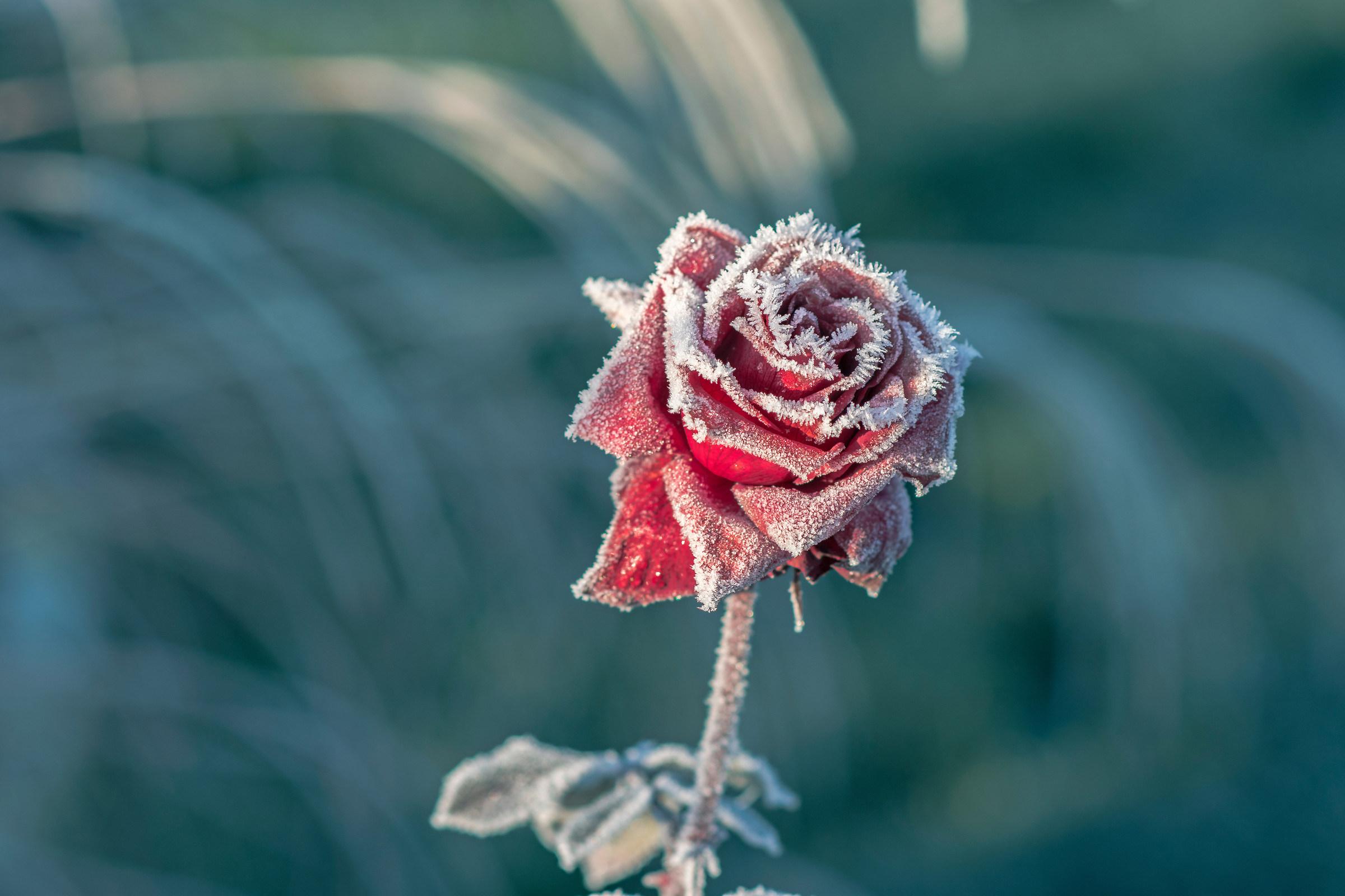 Rose in December 2...