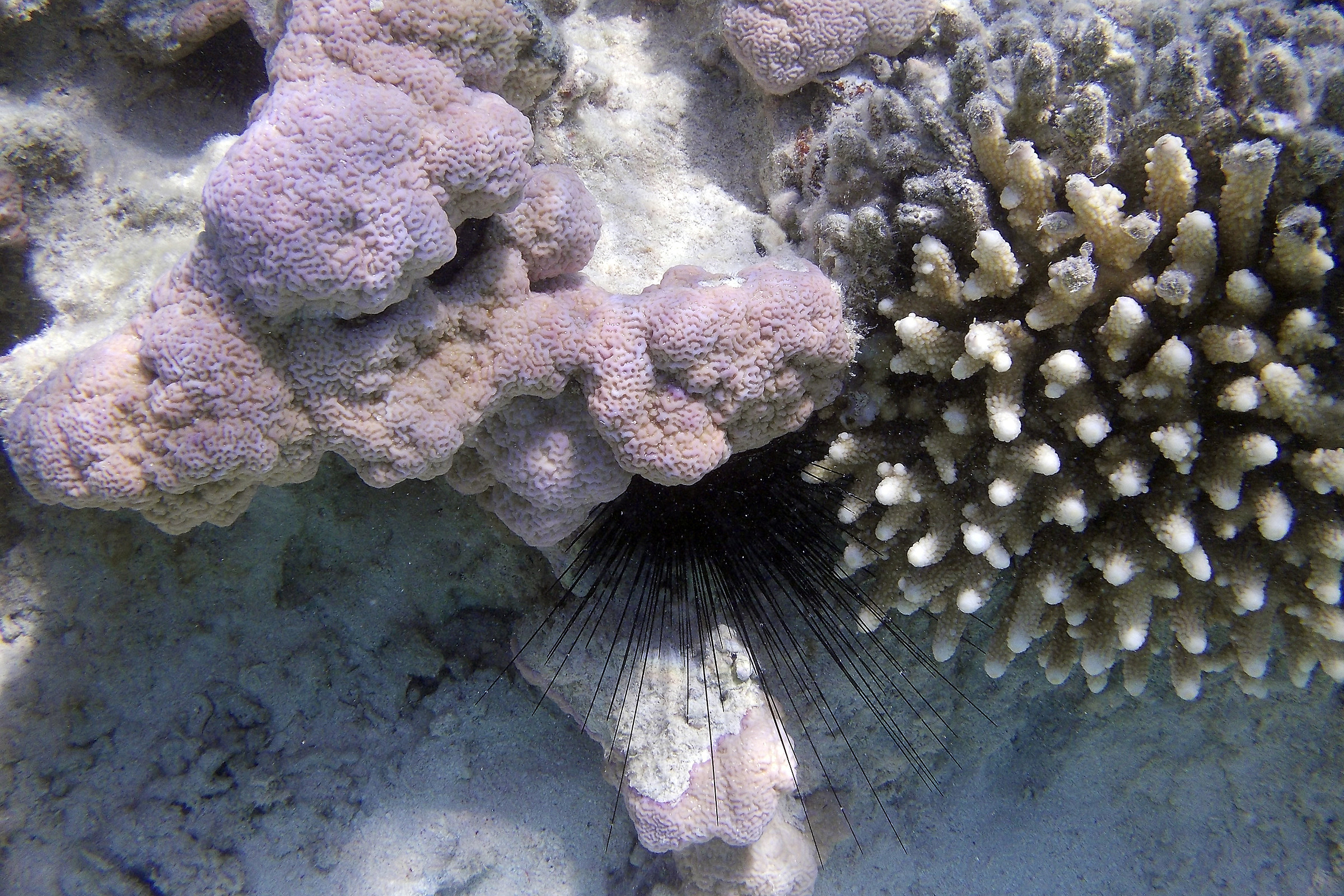 Red Sea Hedgehog_Ras Mohamed National Park...