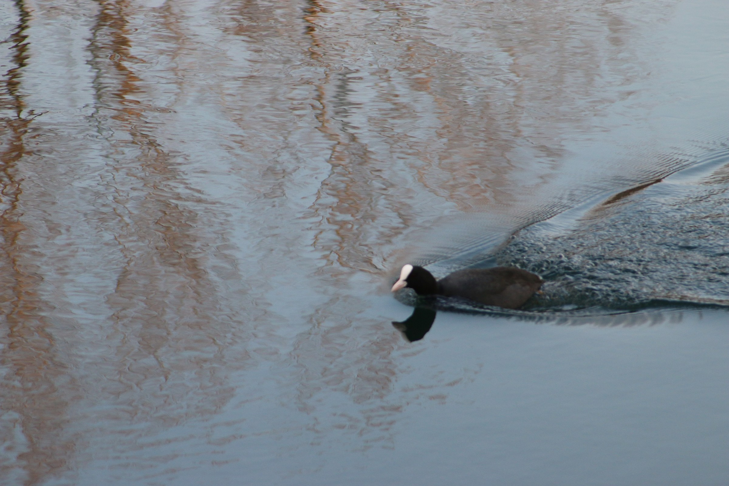 the grebe with its tail...