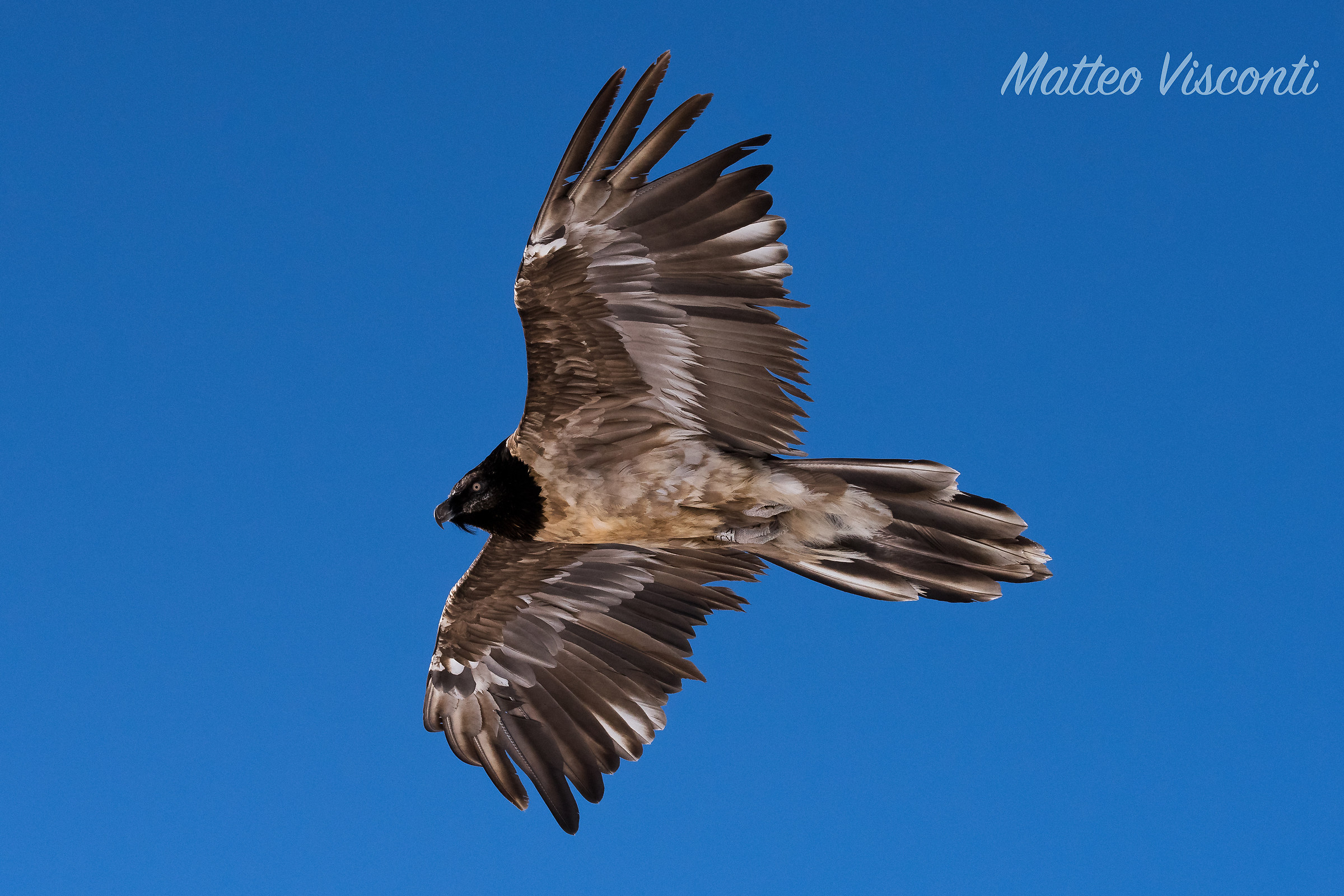 Bearded vulture 2...