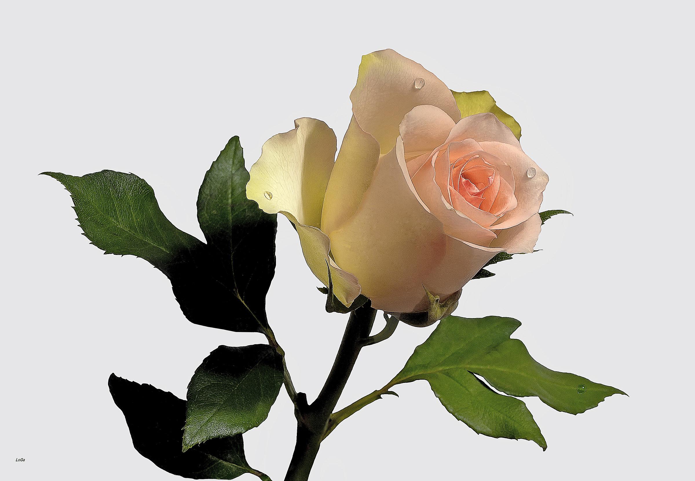 Natural Rose...