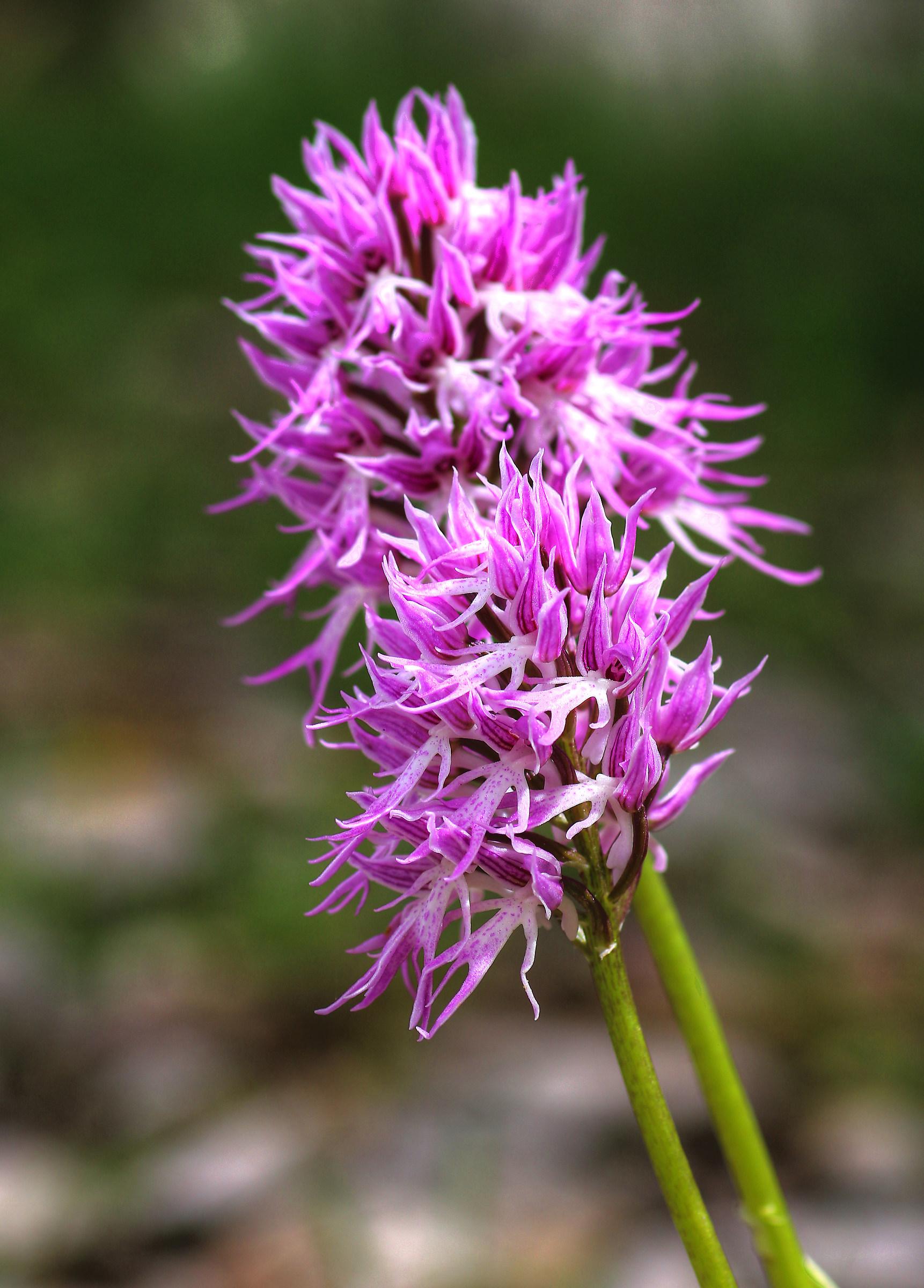 Orchis italica...