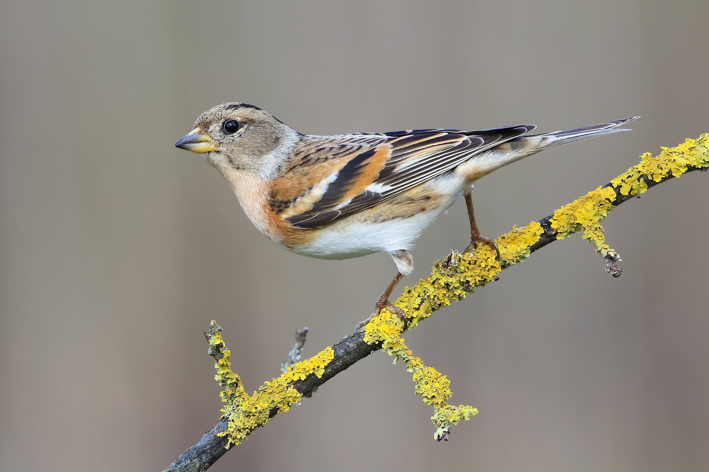 Female beak...