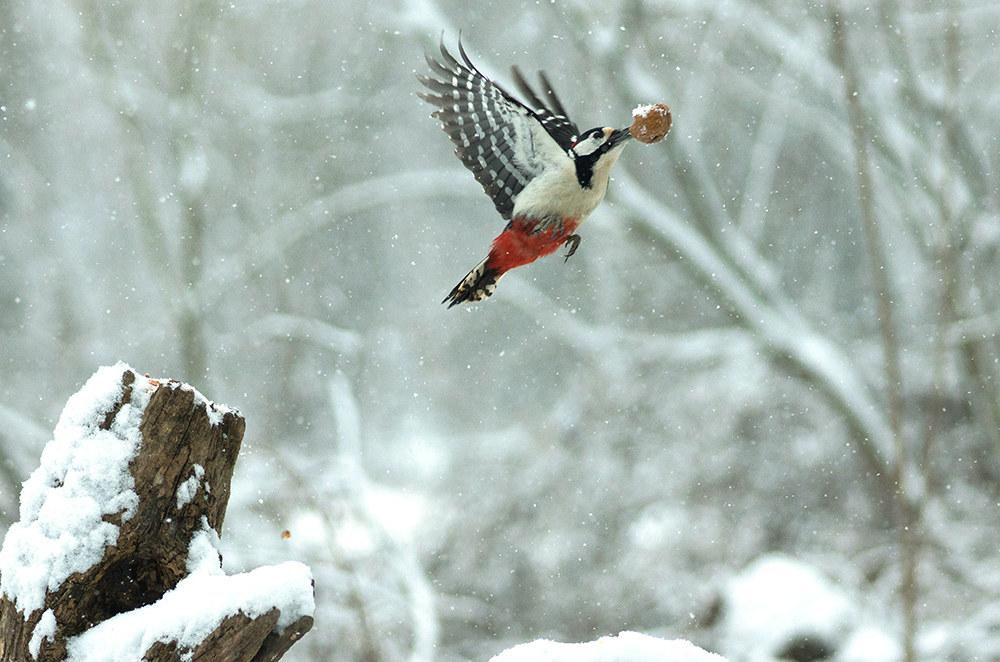 Fruit woodpecker...