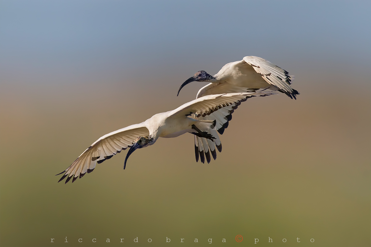 Pair of sacred ibis...