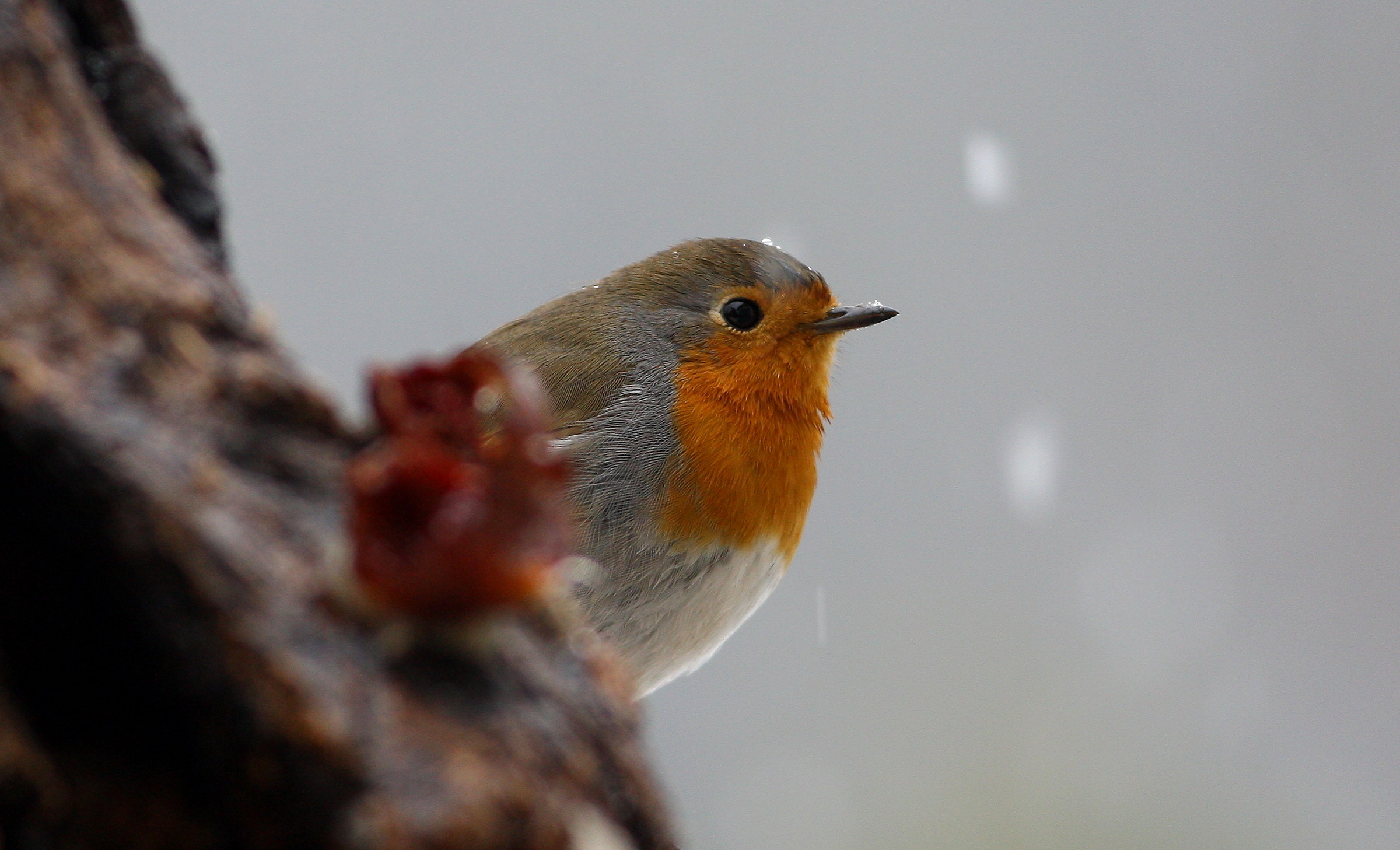 robin under the snow...