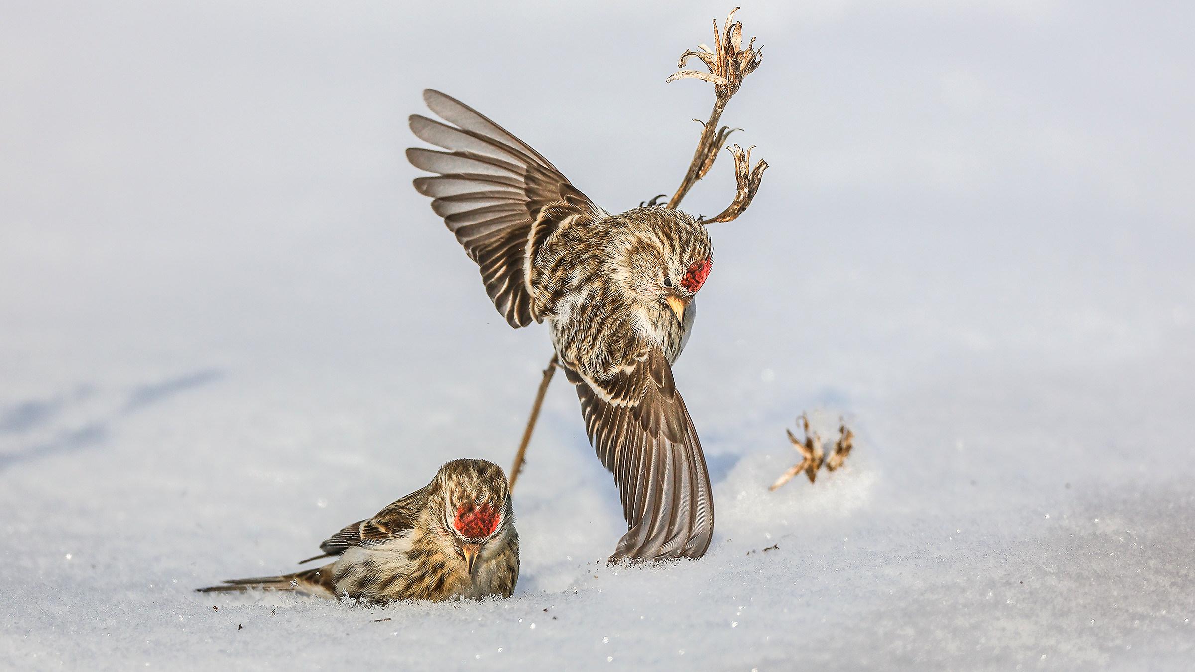 Common Redpoll (Carduelis flammea)...