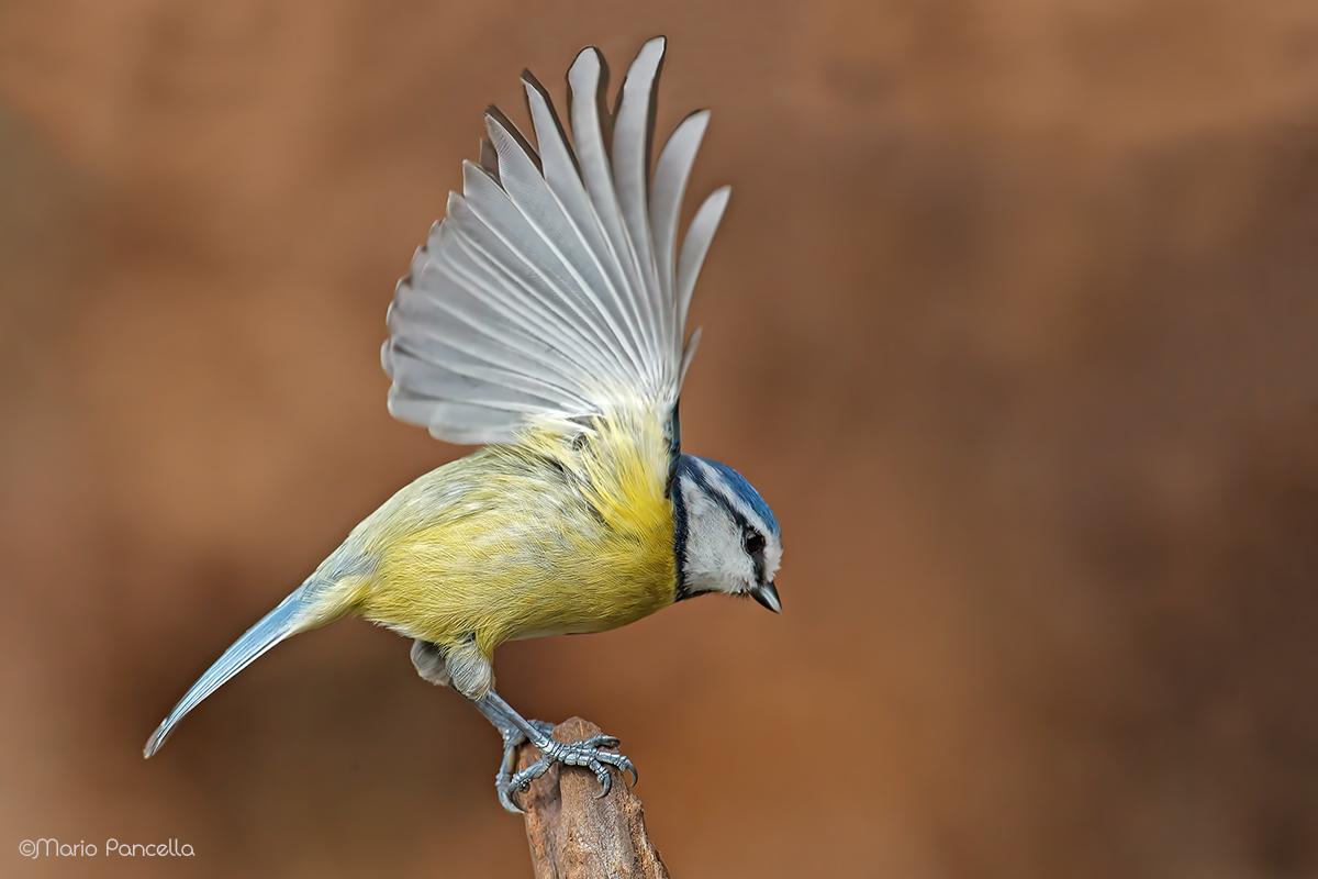 Blue tit - Cyanistes caeruleus...