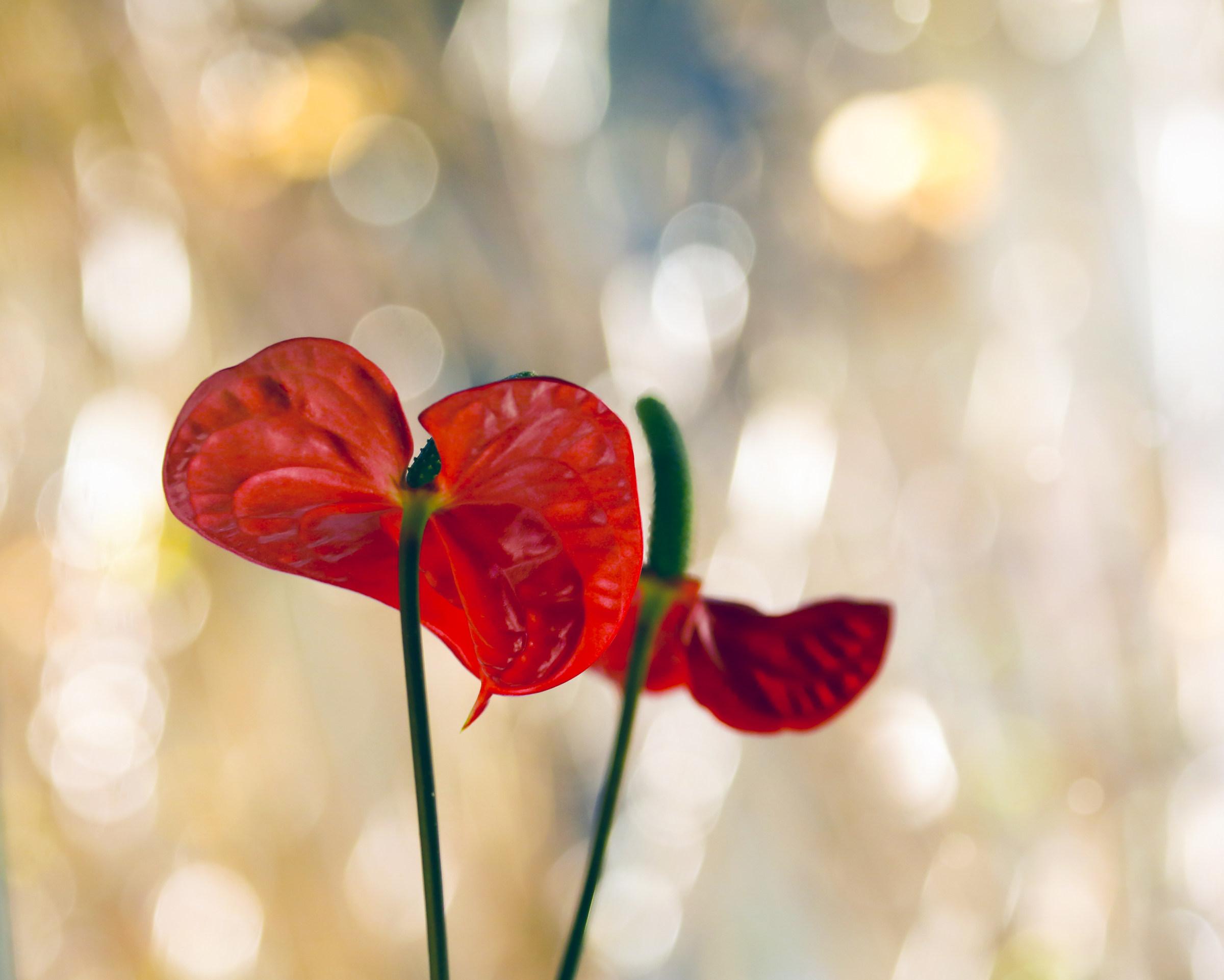 Anthurium red...