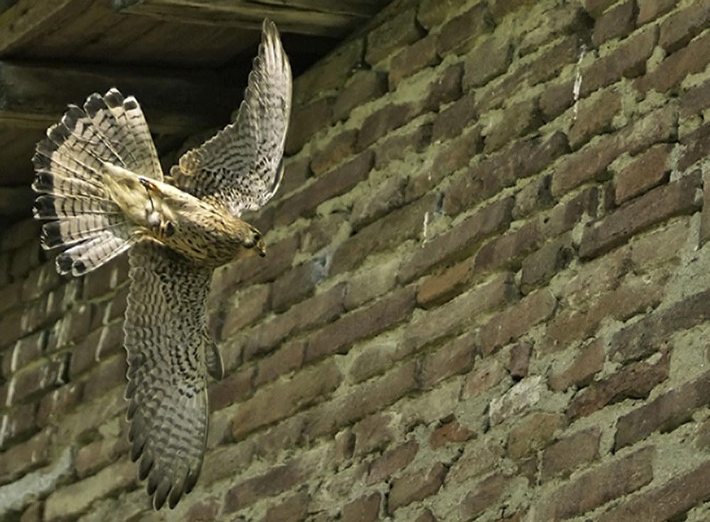 Kestrel with prey....