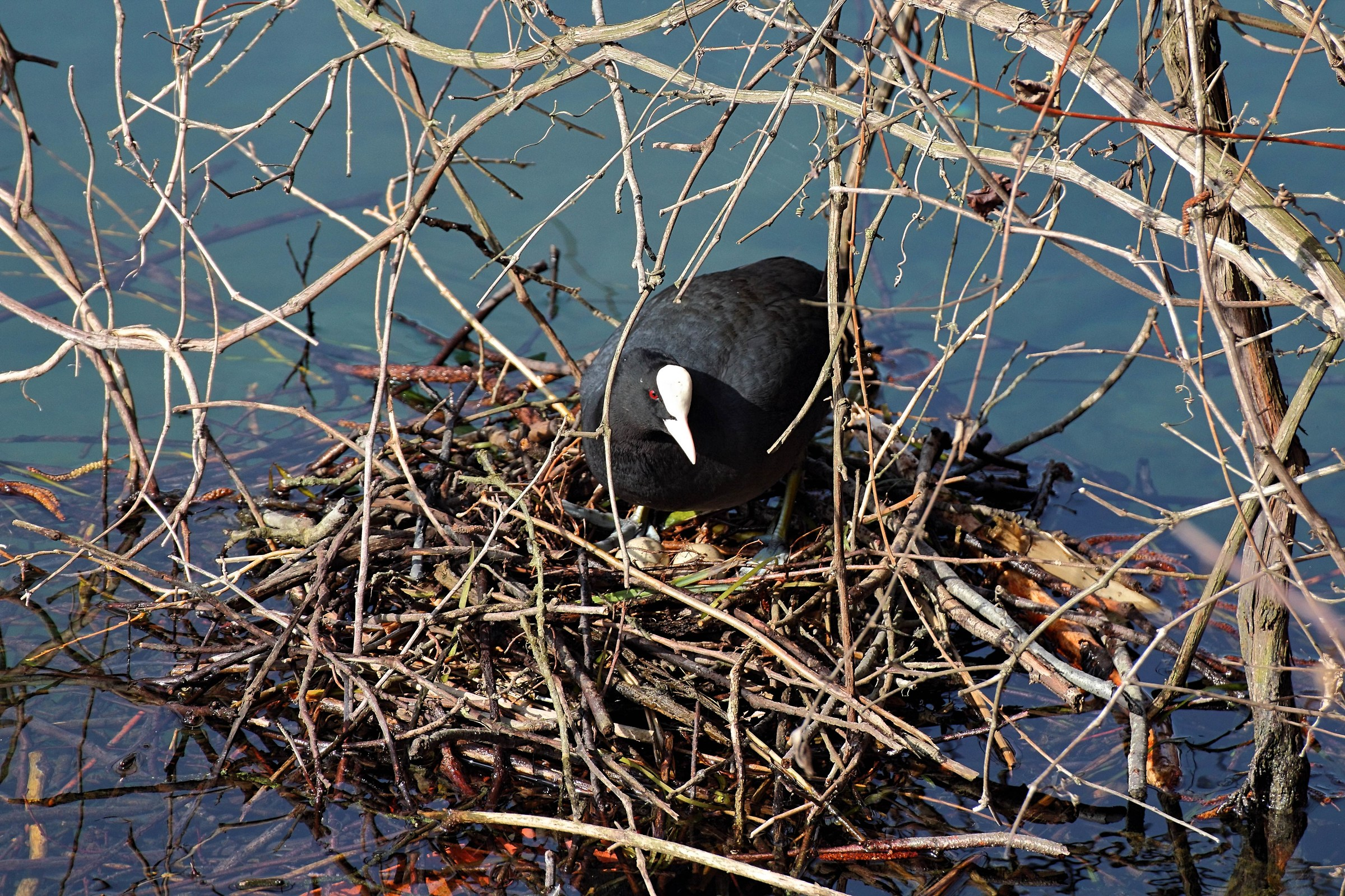 Coot in the process of hatching...