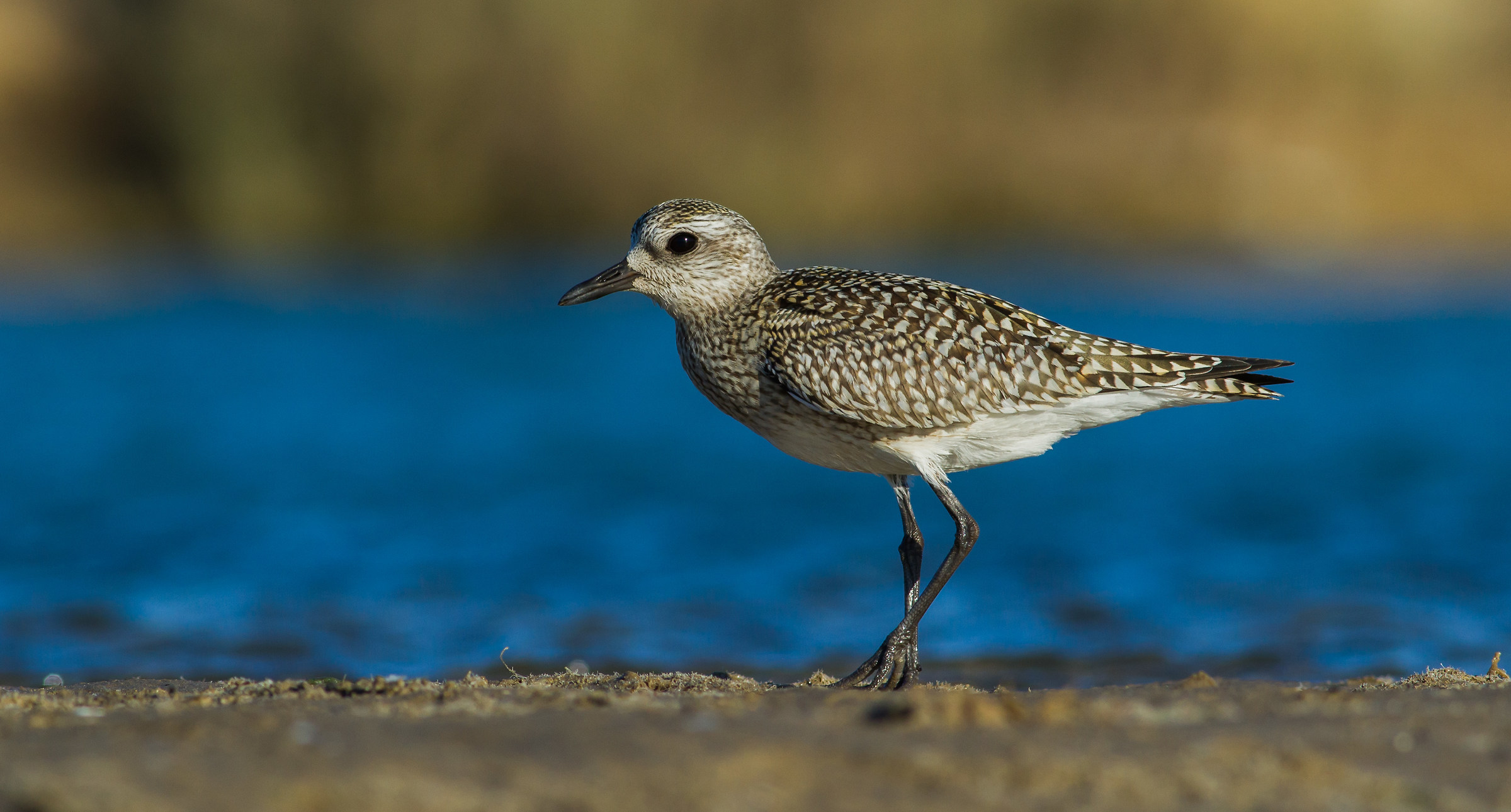 the deep blue Grey  plover...