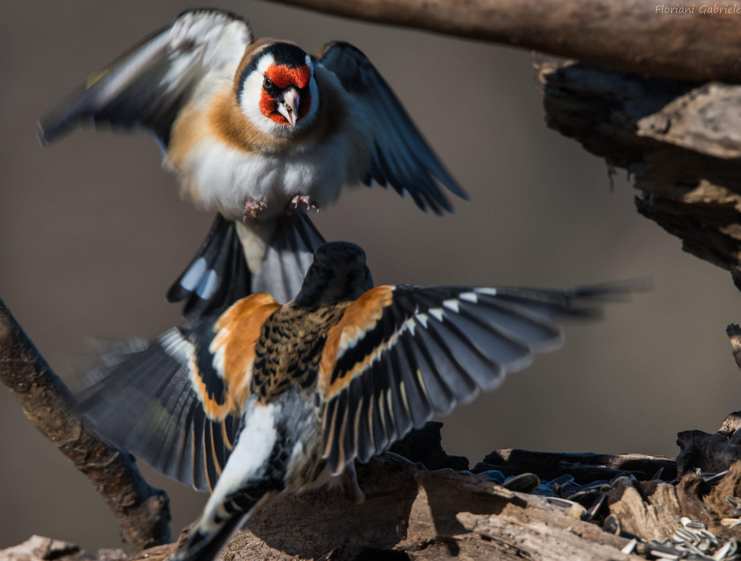 Angry Goldfinch...