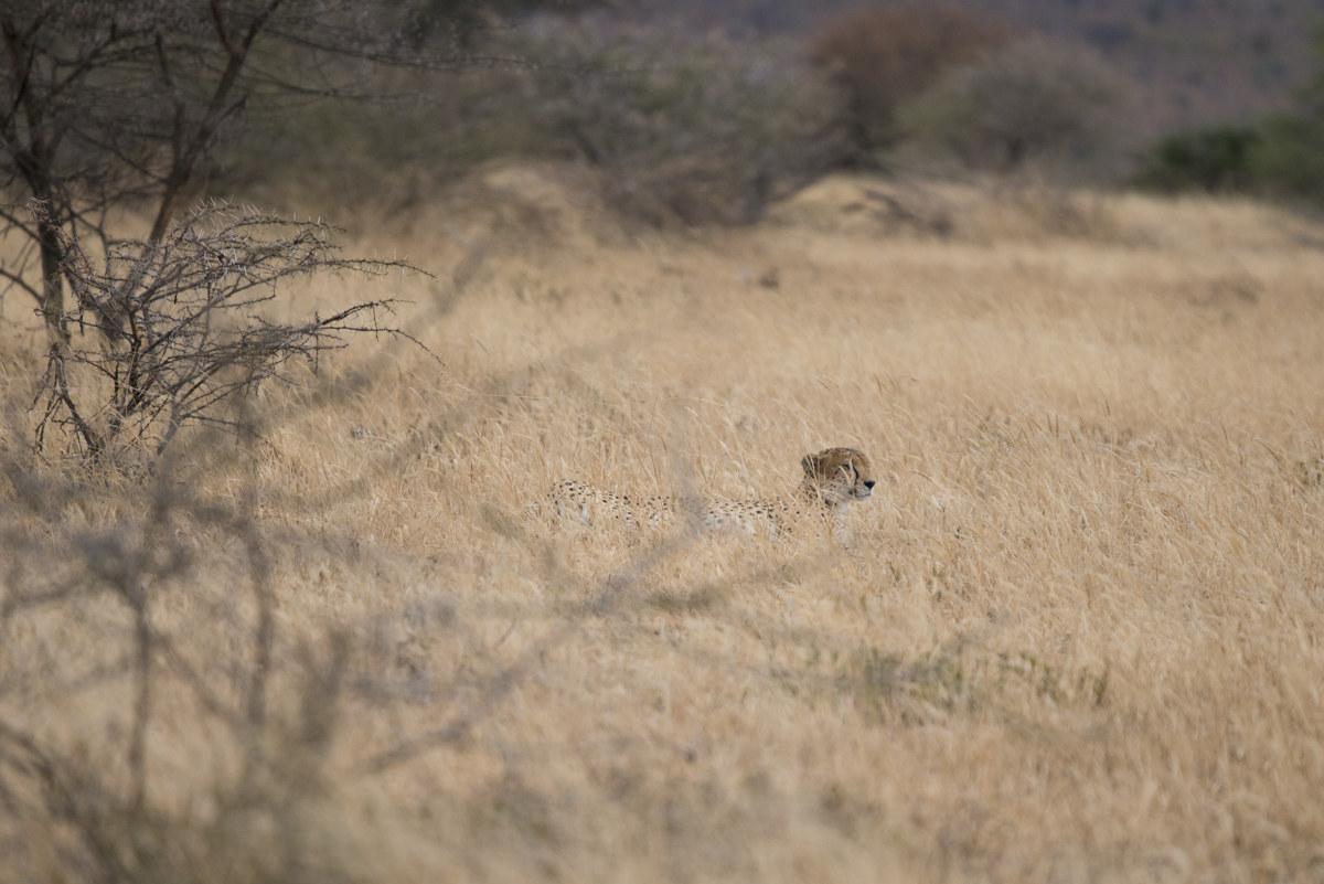 Cheetah waiting...