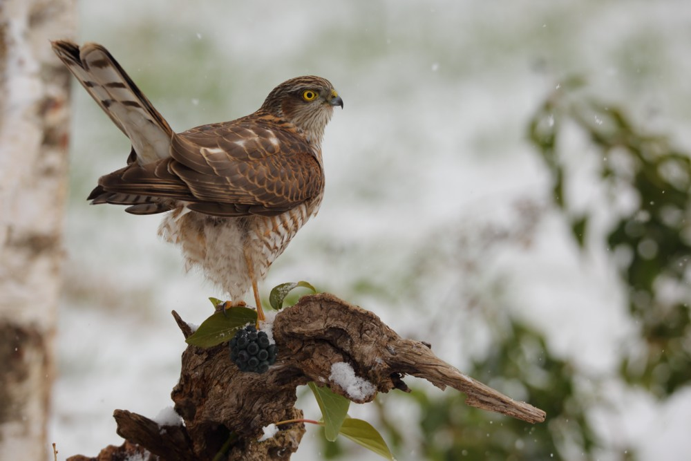 Young sparrowhawk under the snow...