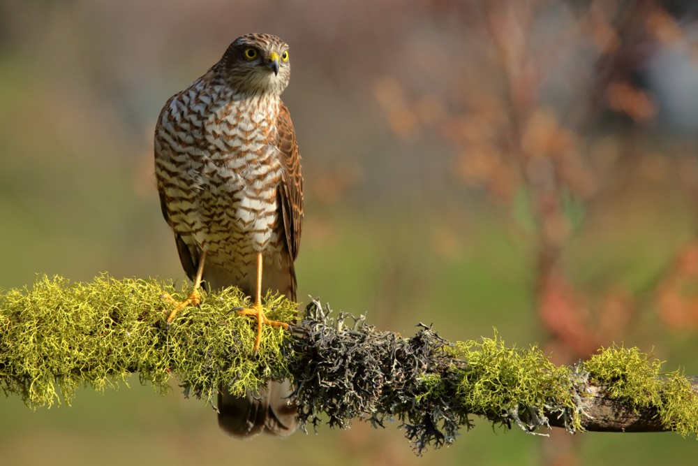 Young Sparrowhawk...