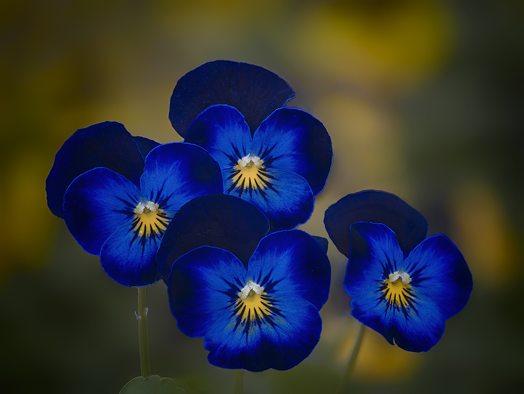 Blue and yellow violets...