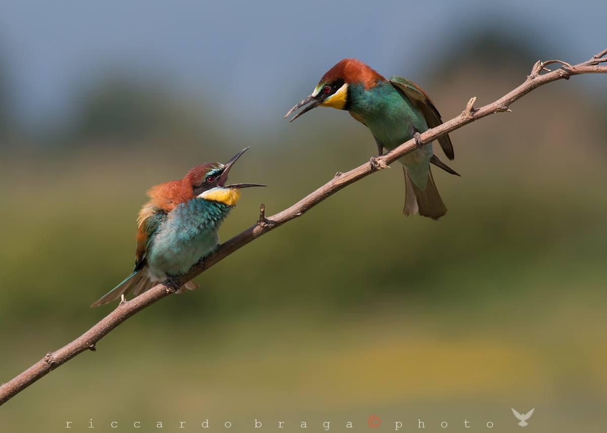 Quarrel between bee-eaters...