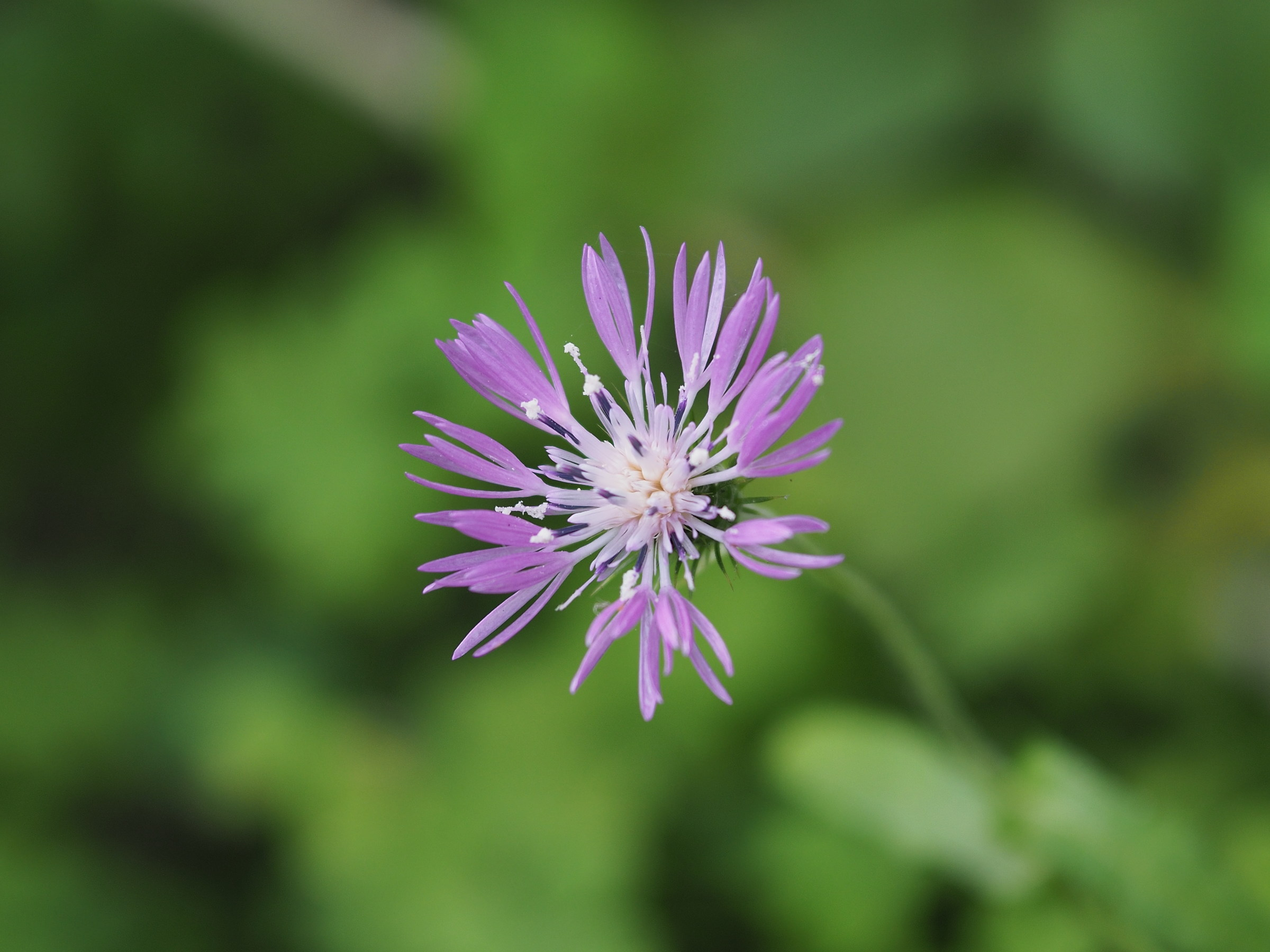Field flower...