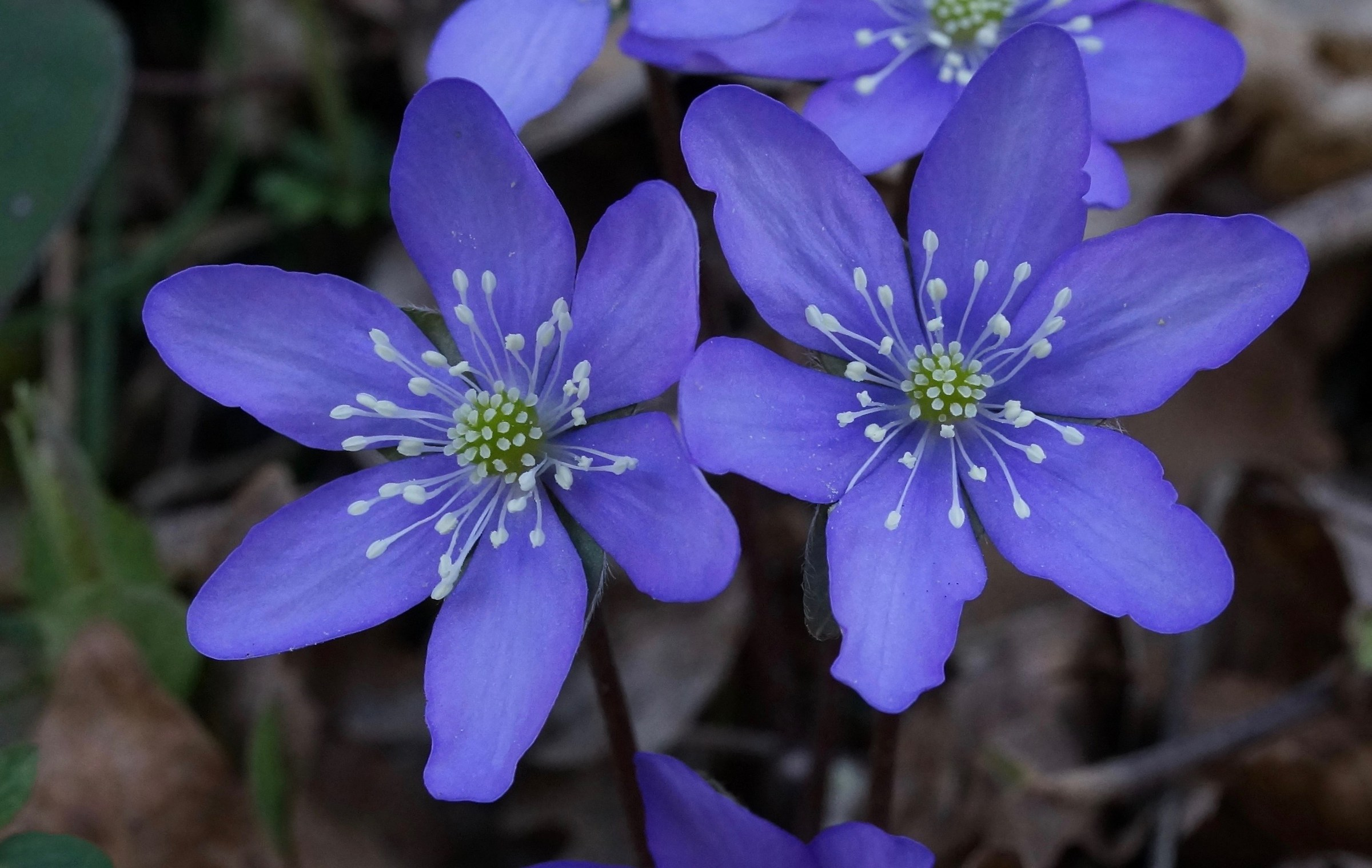 Anemone Hepatica 2...