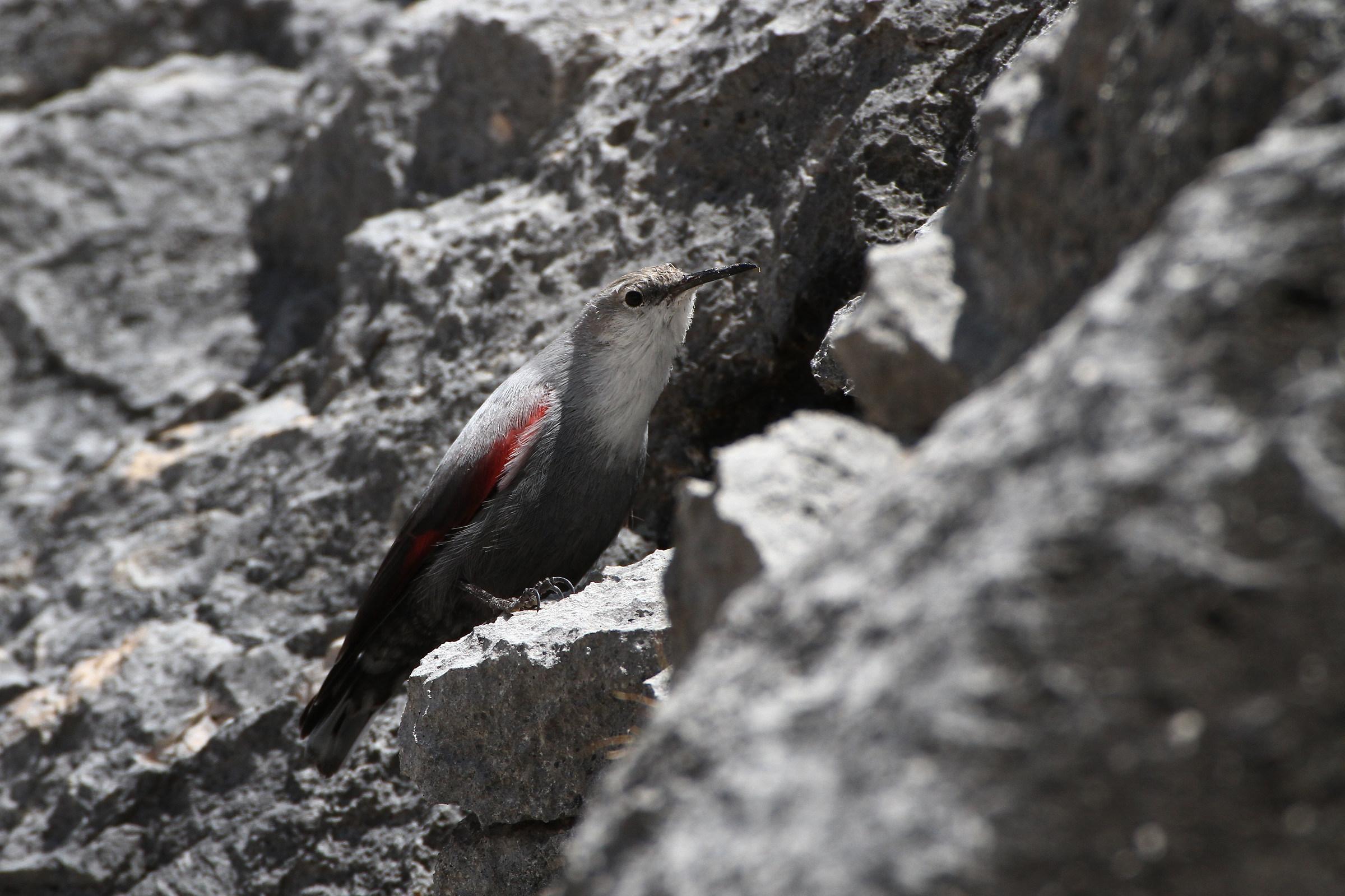 The mimicry of the woodpecker Muraiolo...