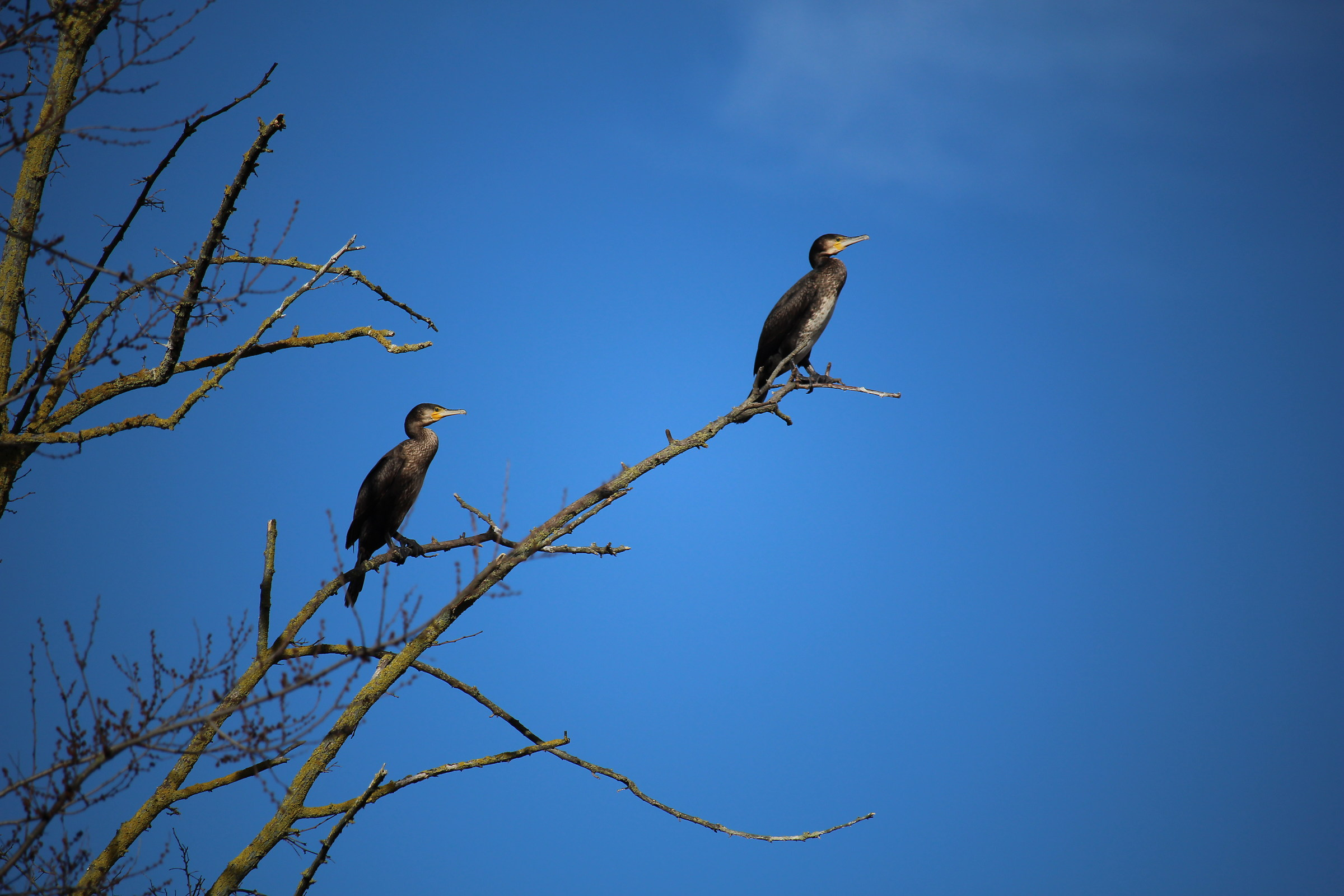 Cormorants in Blue...