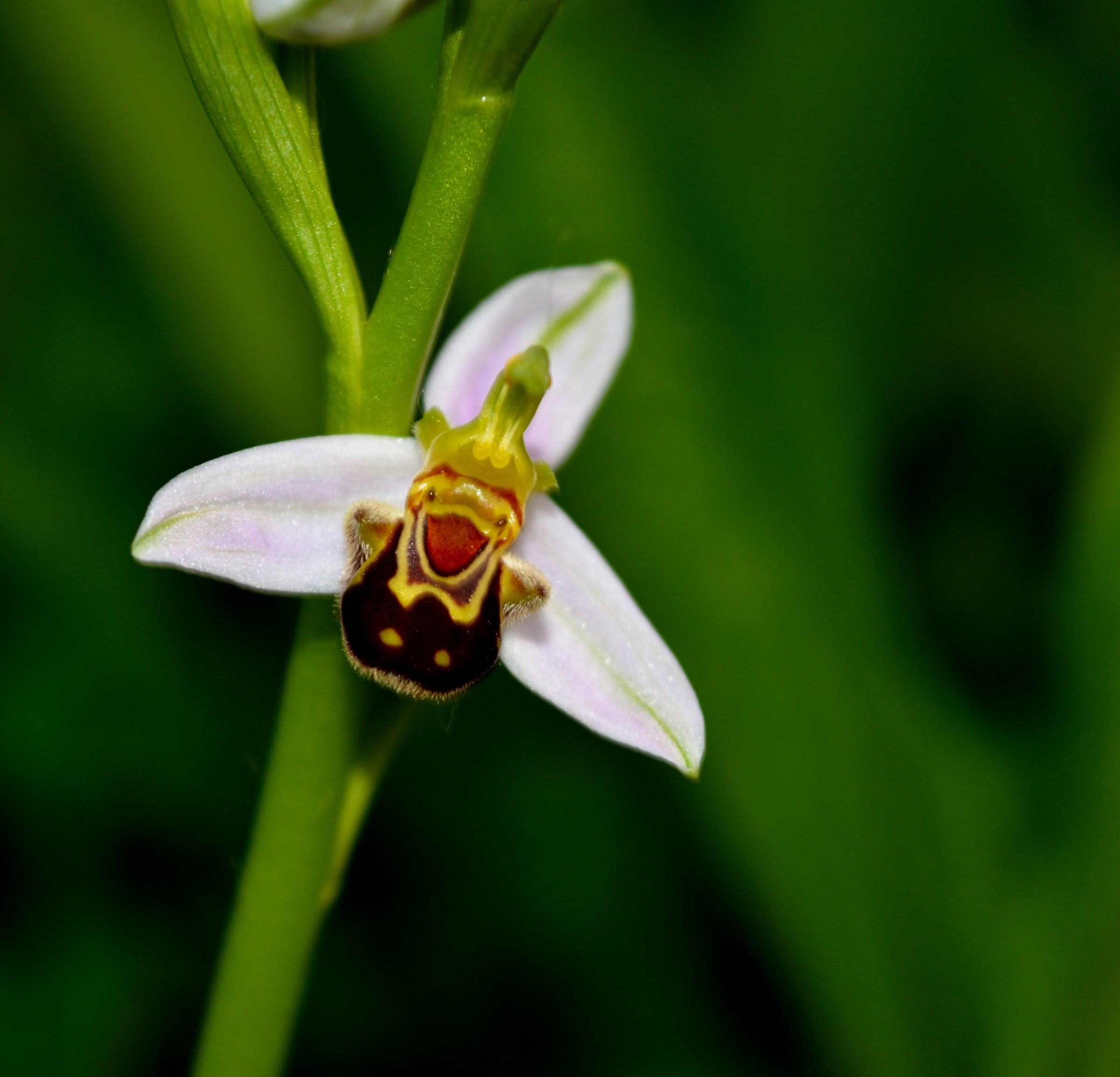 Ophrys apifera...