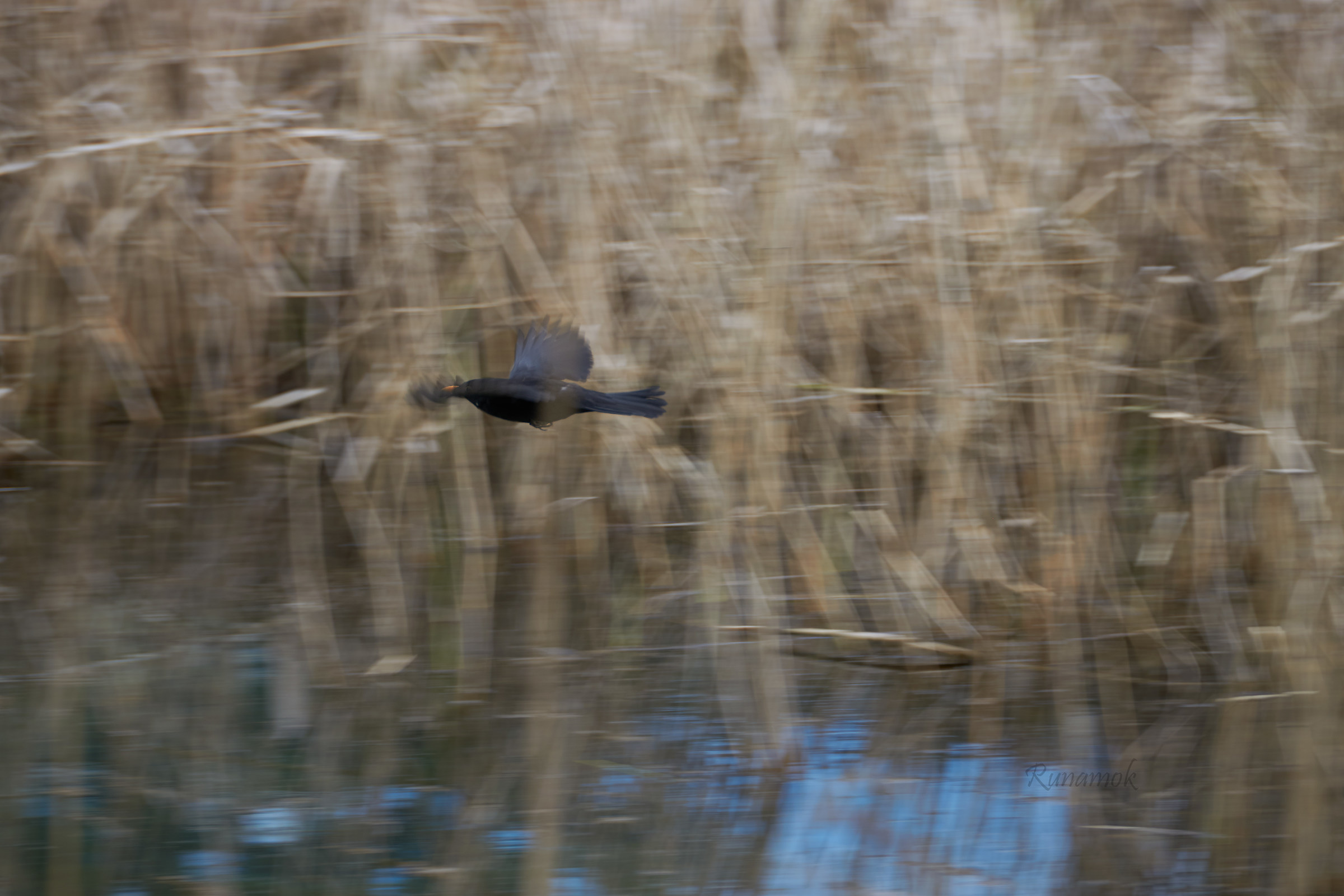 The blackbird in the reeds...