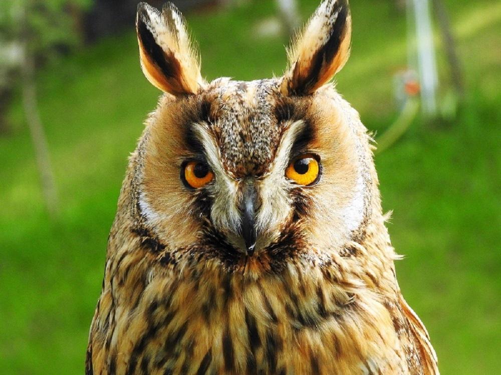 Eagle owl - protected area. Free hand...