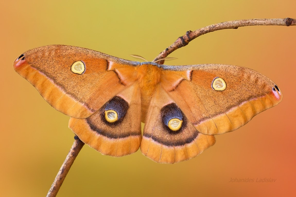 Antheraea polyphemus (female)...