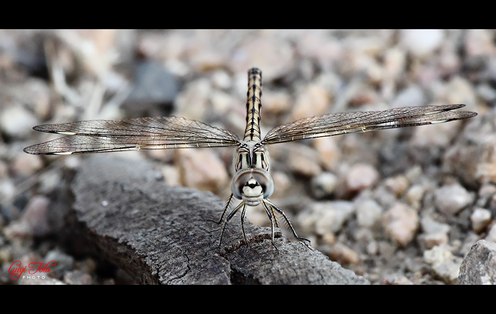 Brachythemis Impartita (femmina)...