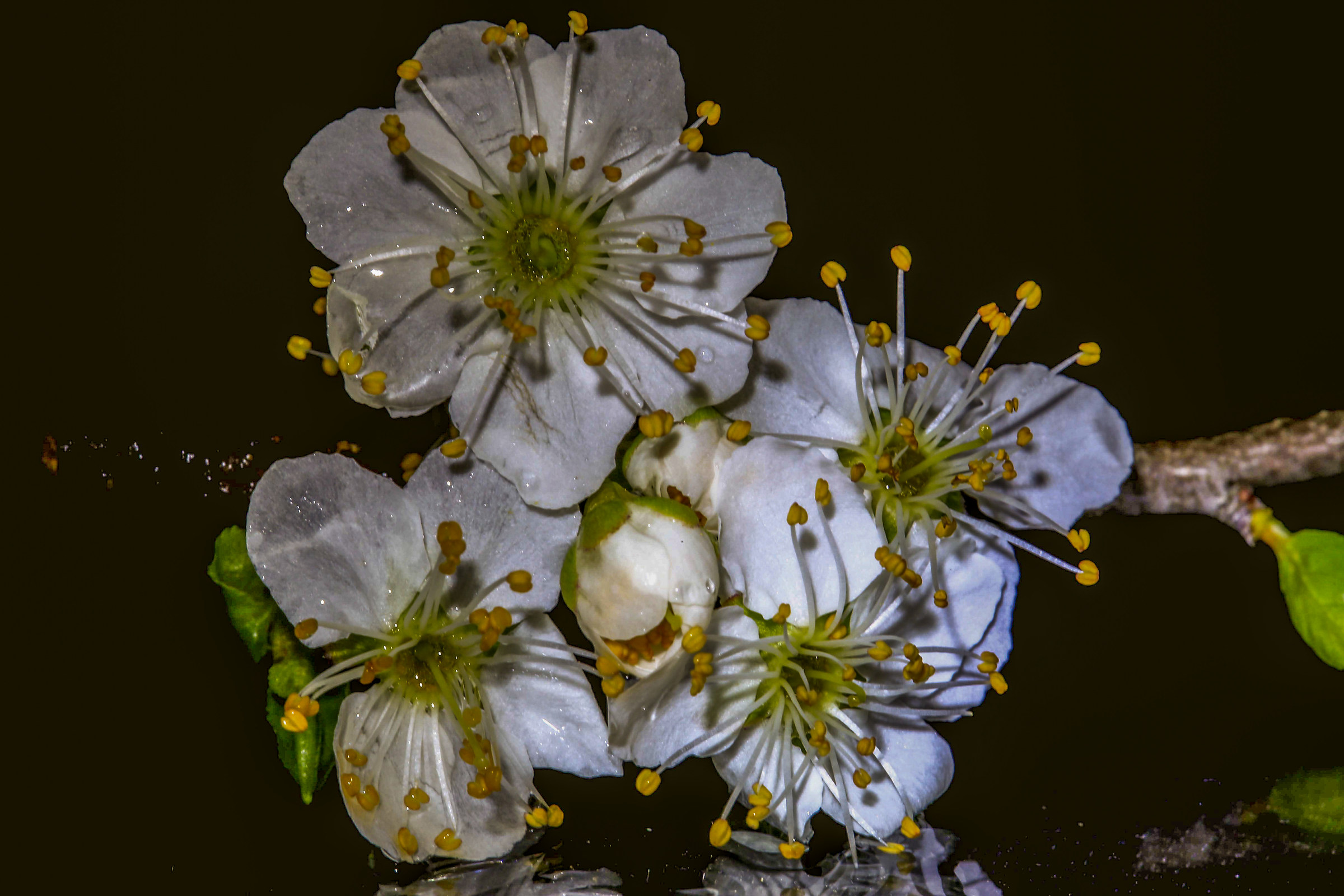 Flowers of prune...