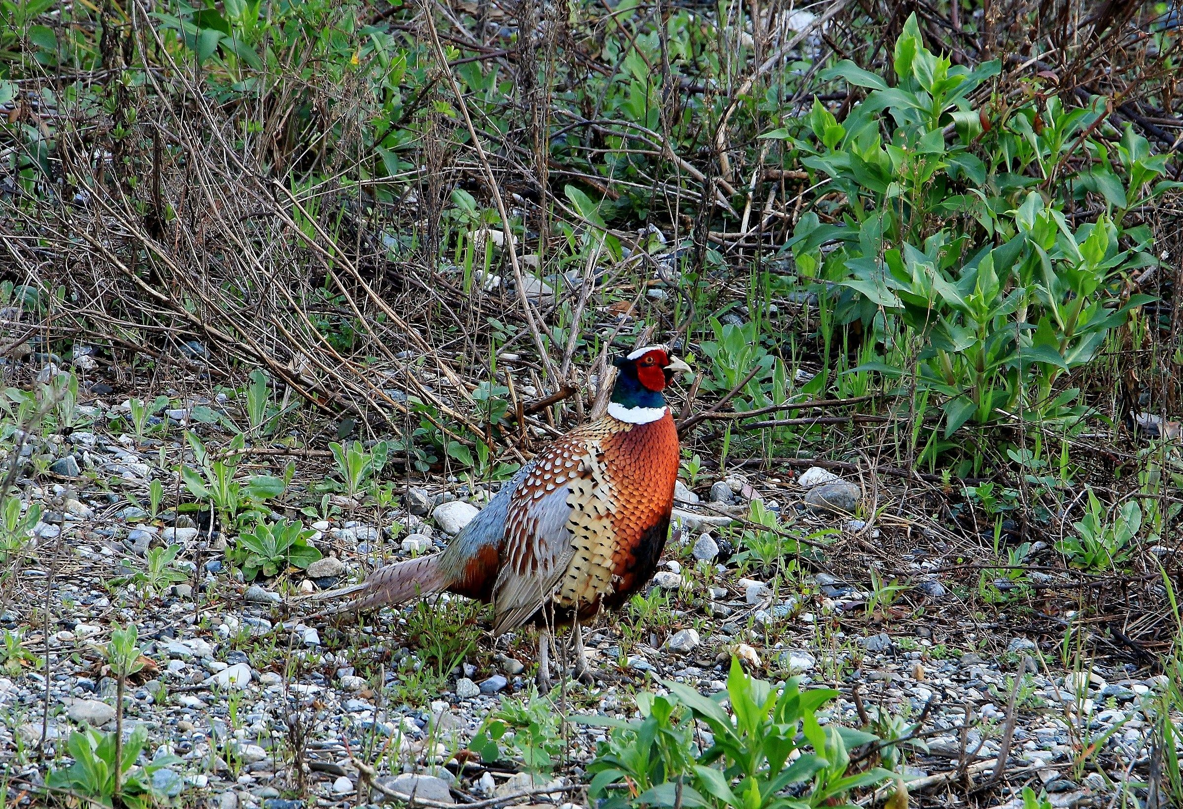 Pheasant...