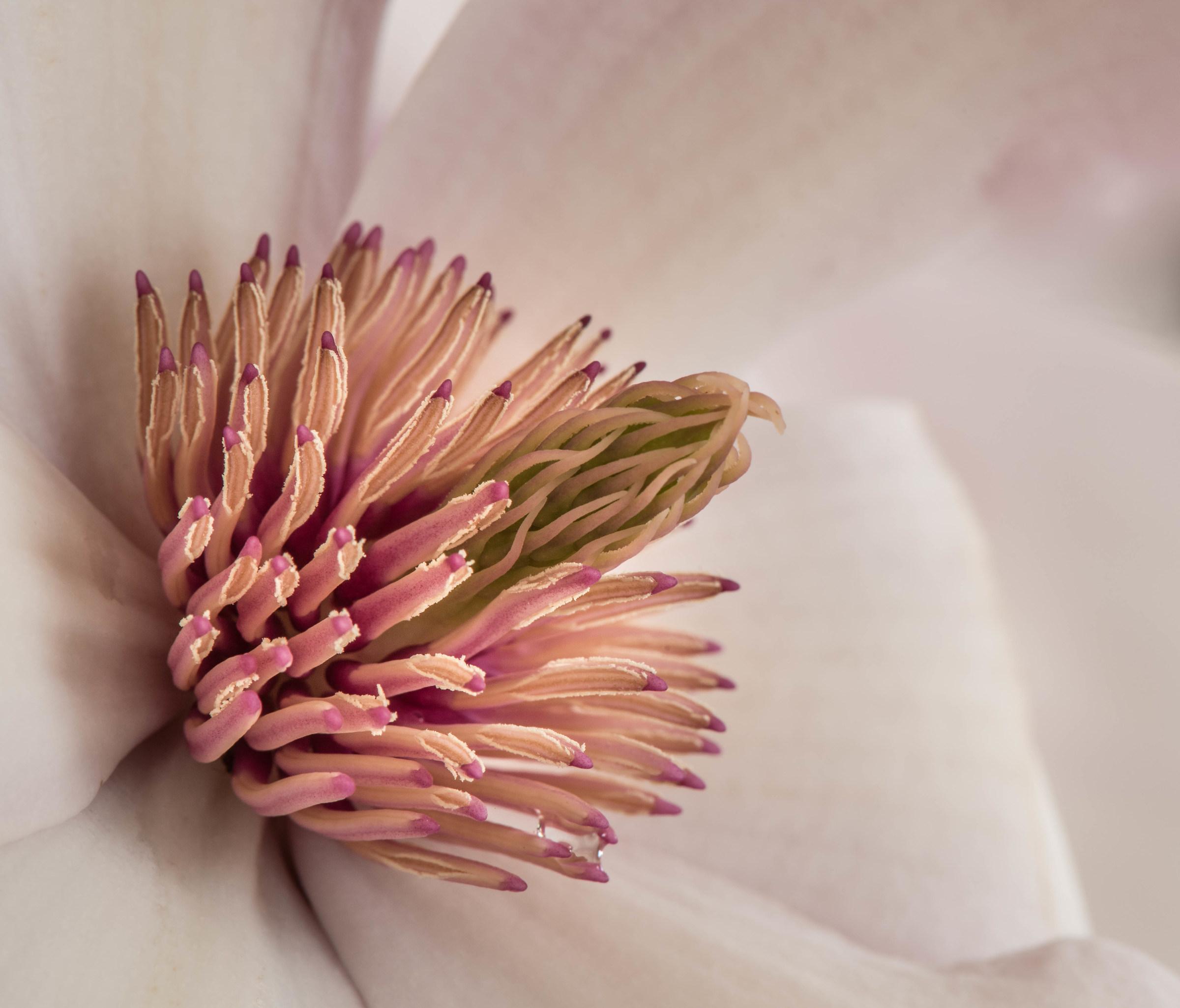 Magnolia flower interior detail....