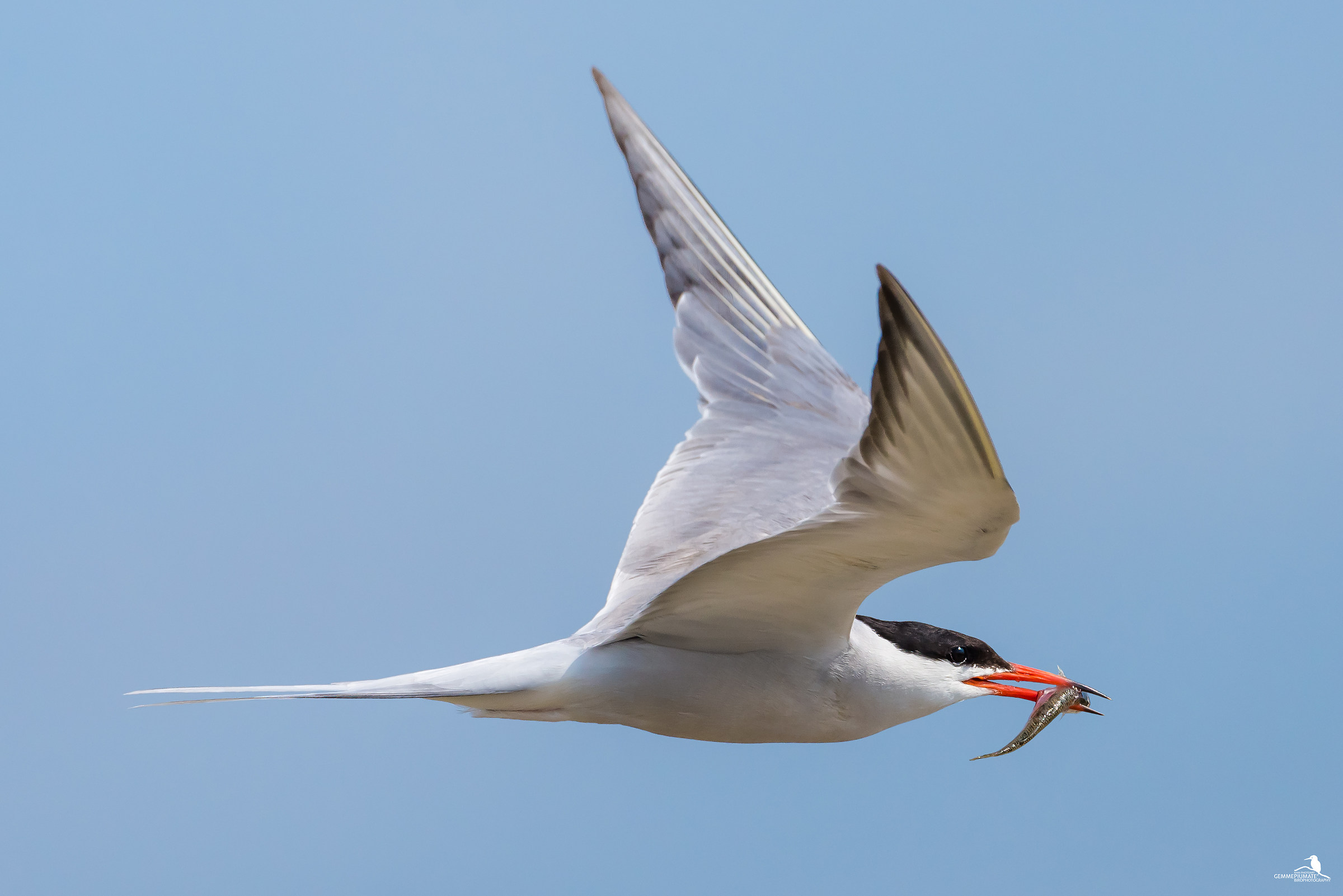 Common tern...