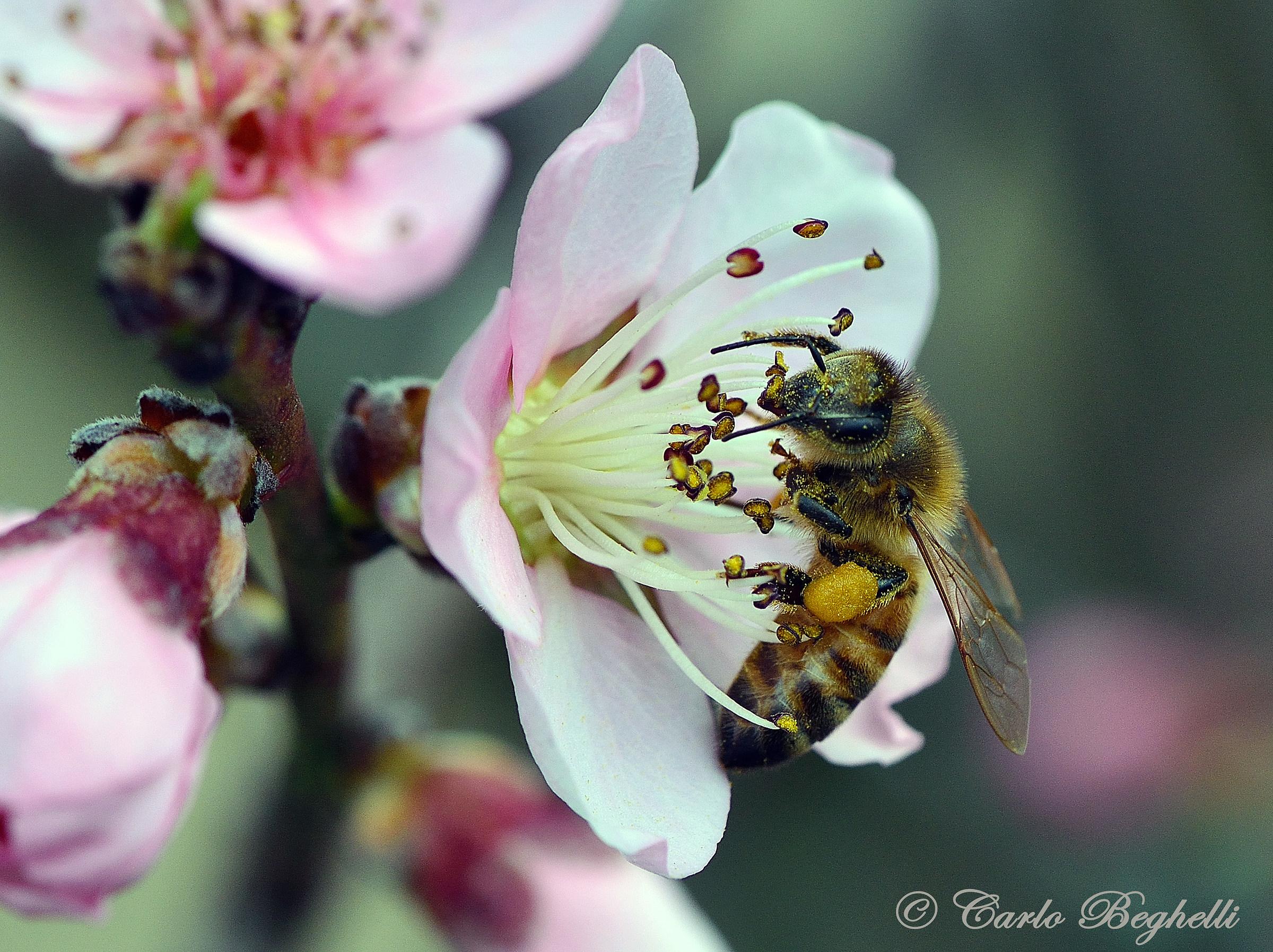 Bee on peach...