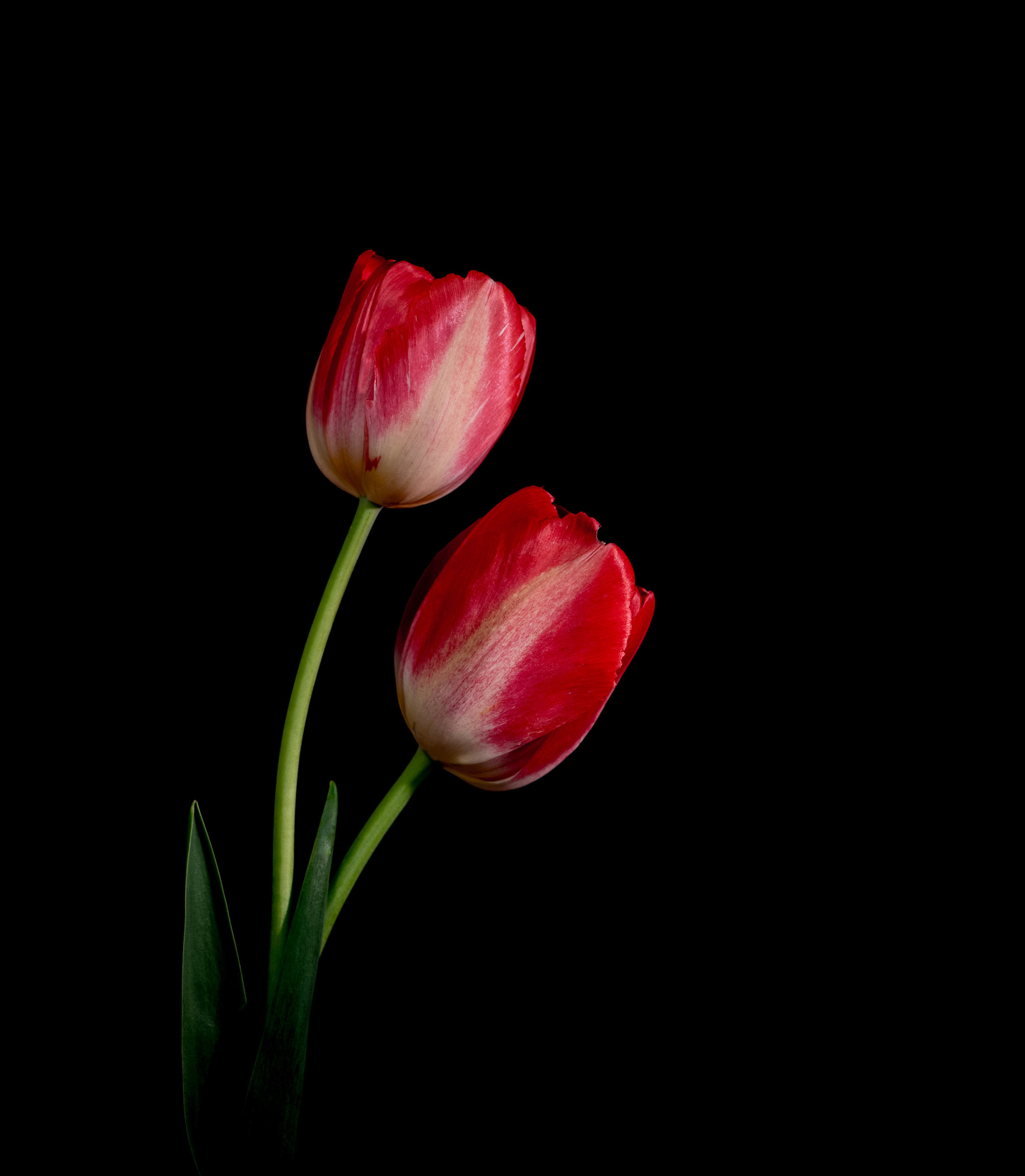 Two tulips....