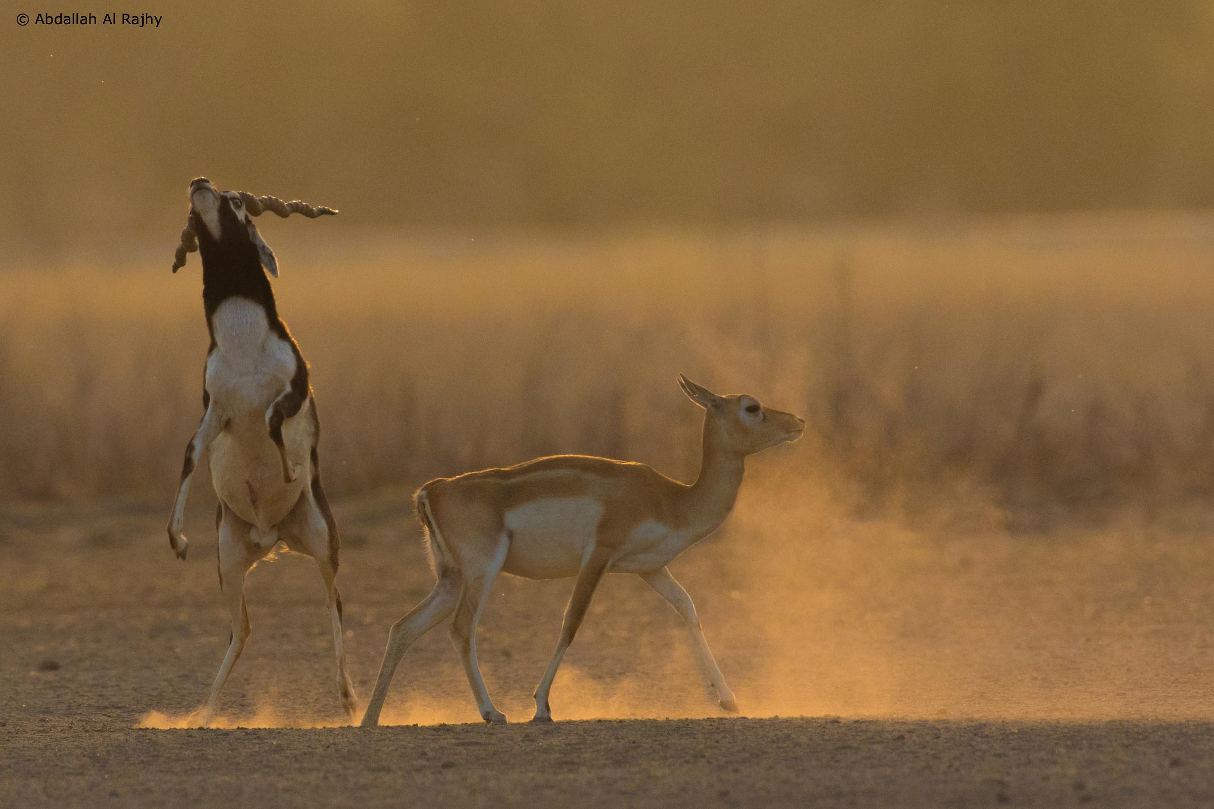 Blackbuck mating!...
