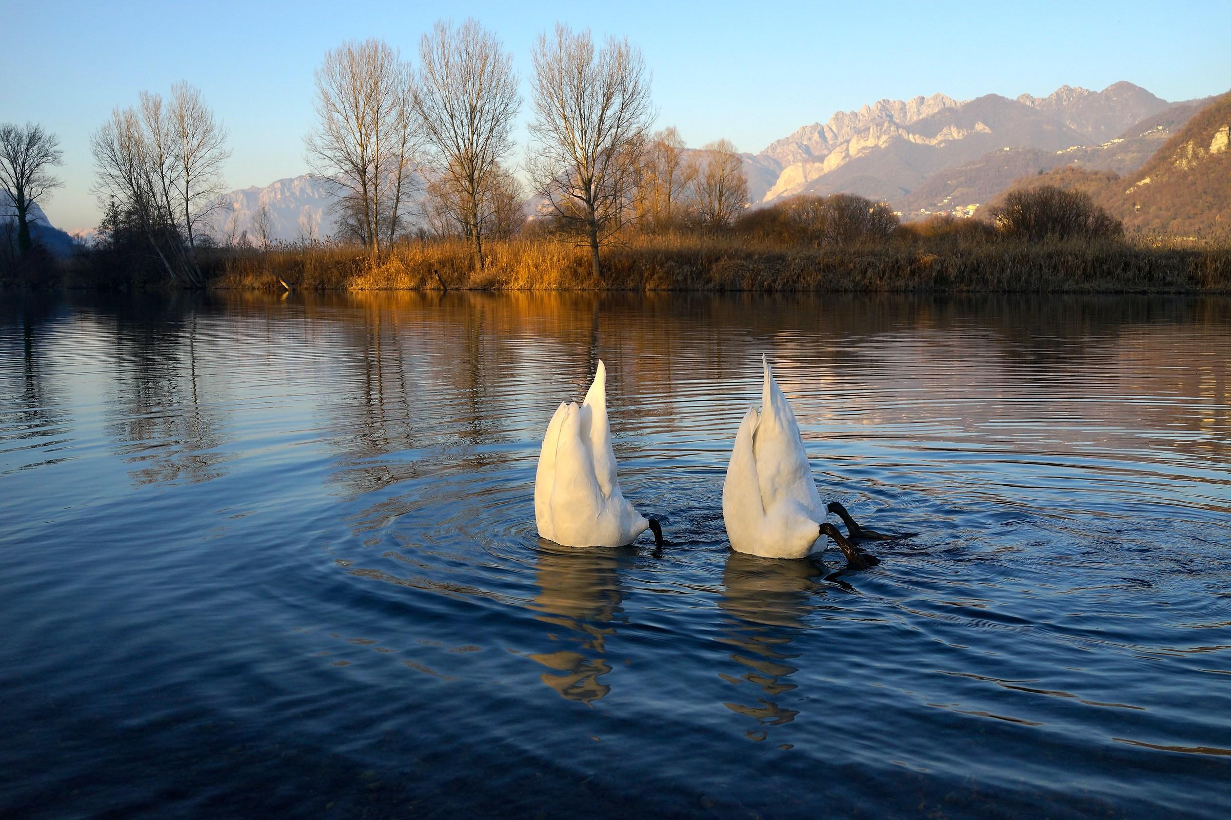 """Swans """"sub"""" Adda..."""