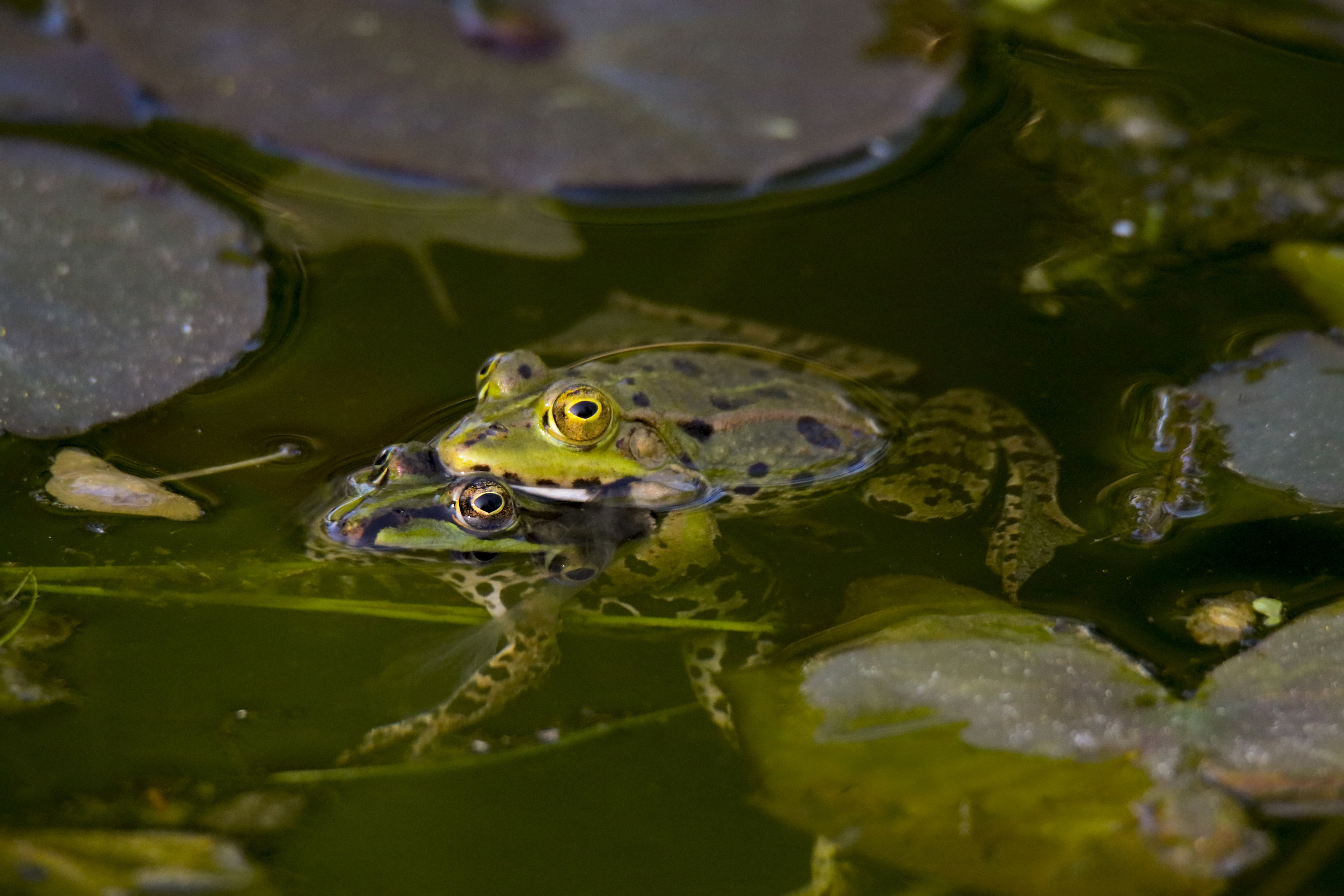 Mating frogs...