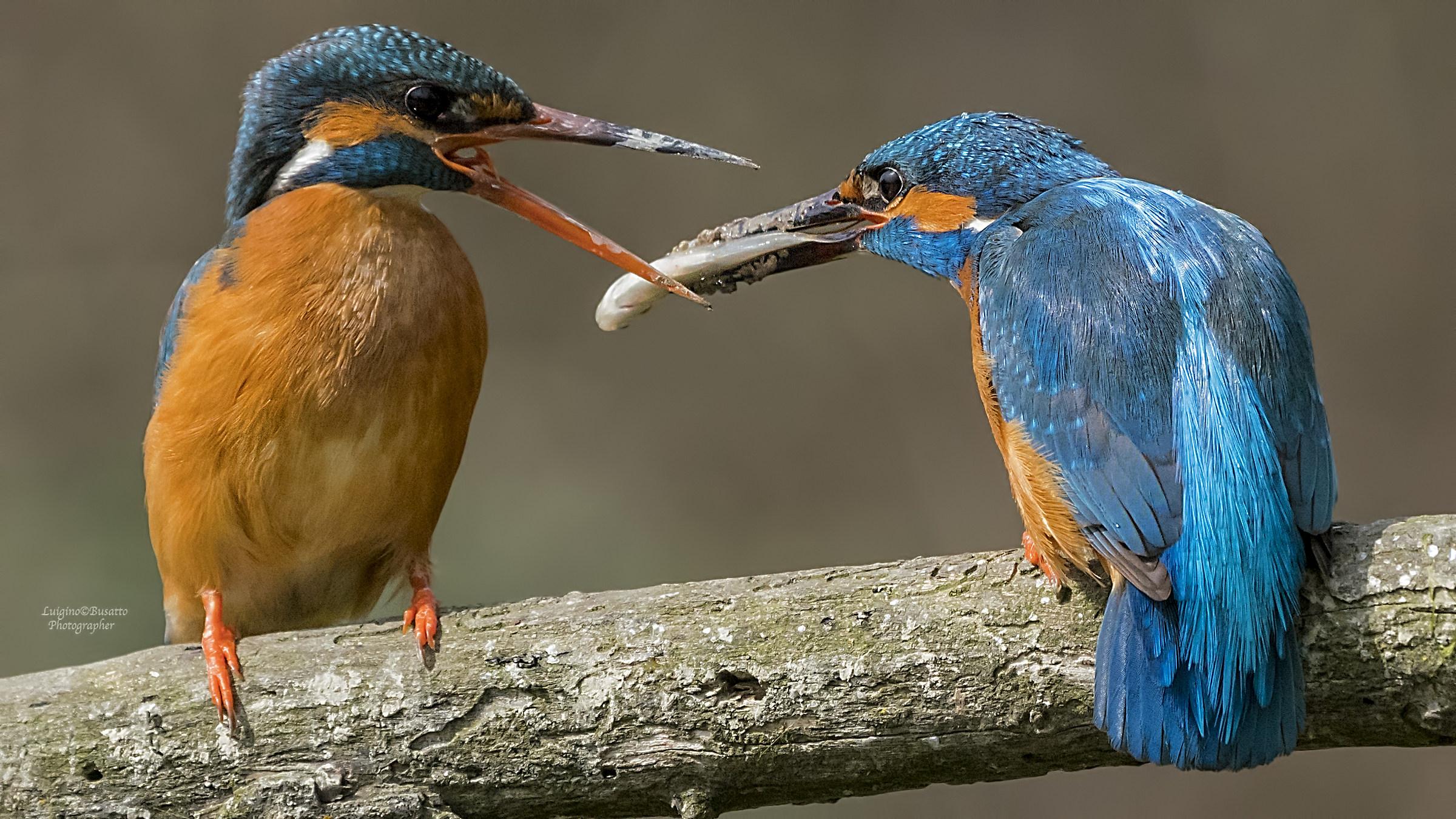 Kingfisher gift exchange ...