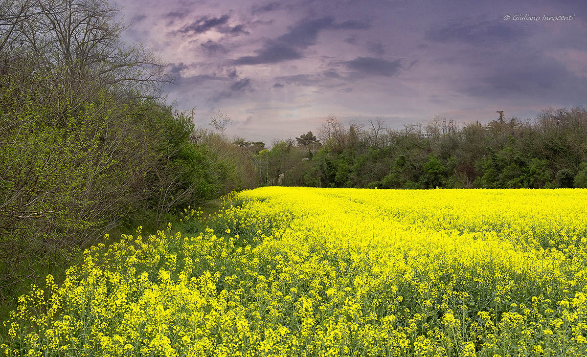 The fields are tinged with yellow...
