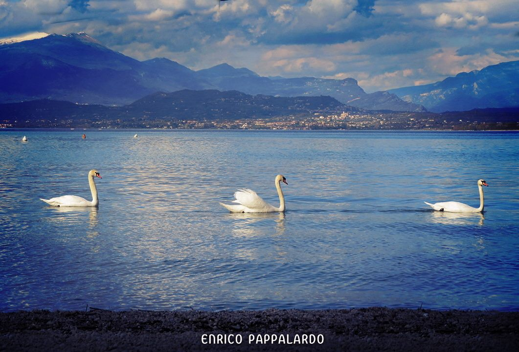 Parade of Swans...