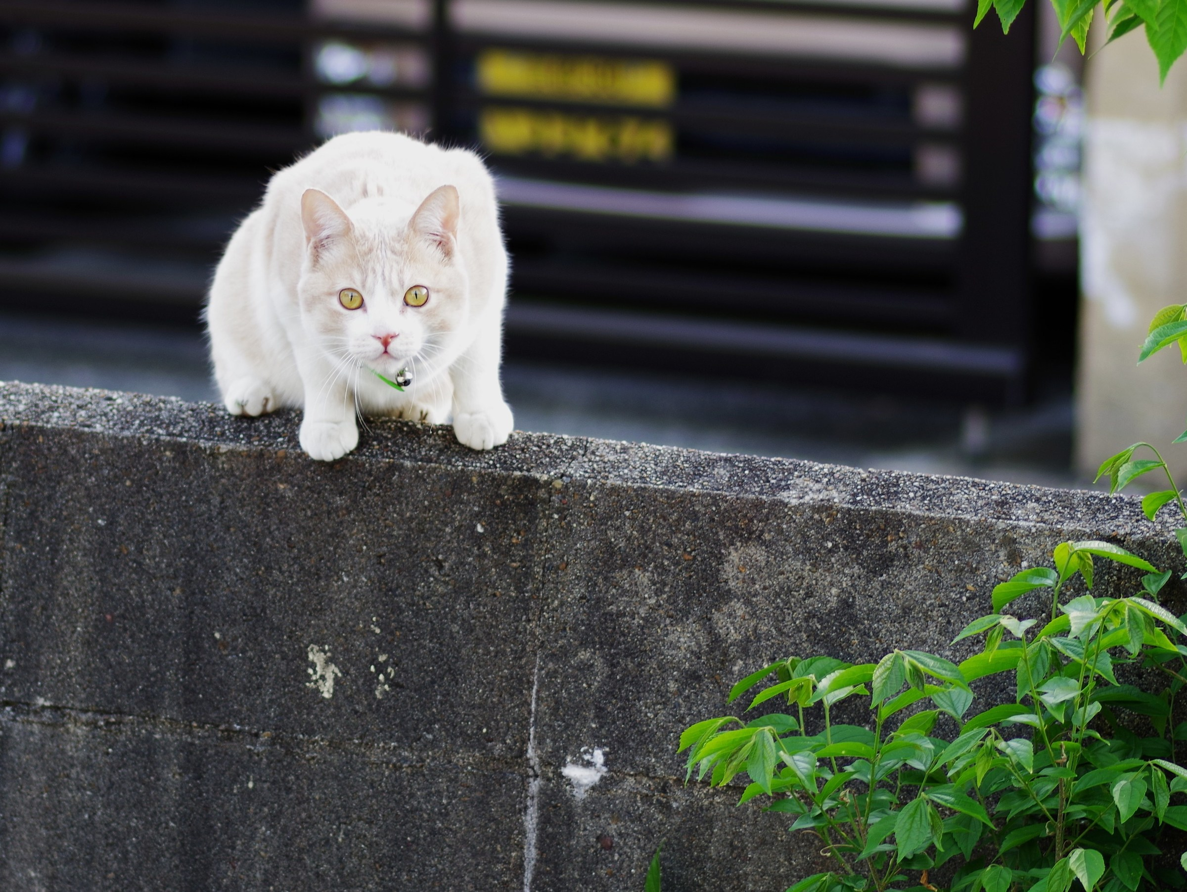 White Cat,with little bell...
